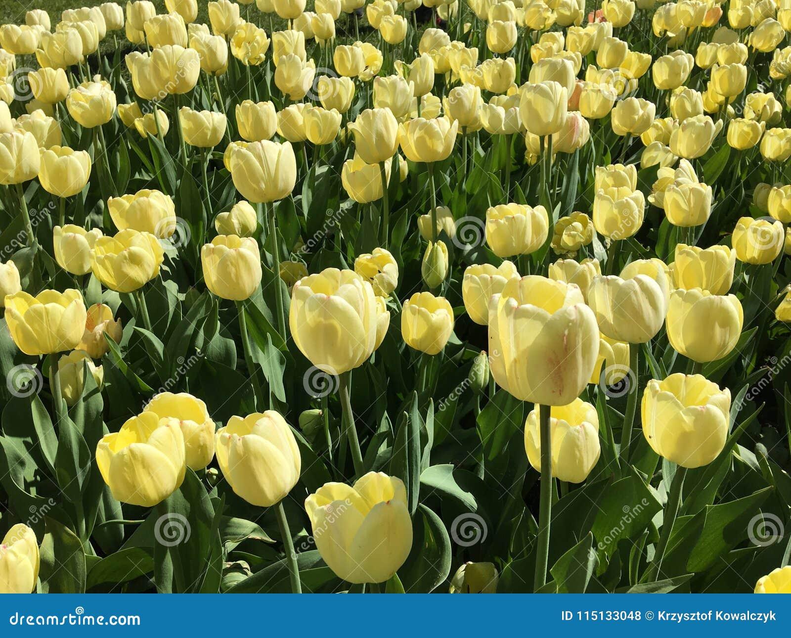 Porciones De Flores Amarillas Del Tulipan Nombre Floradale De