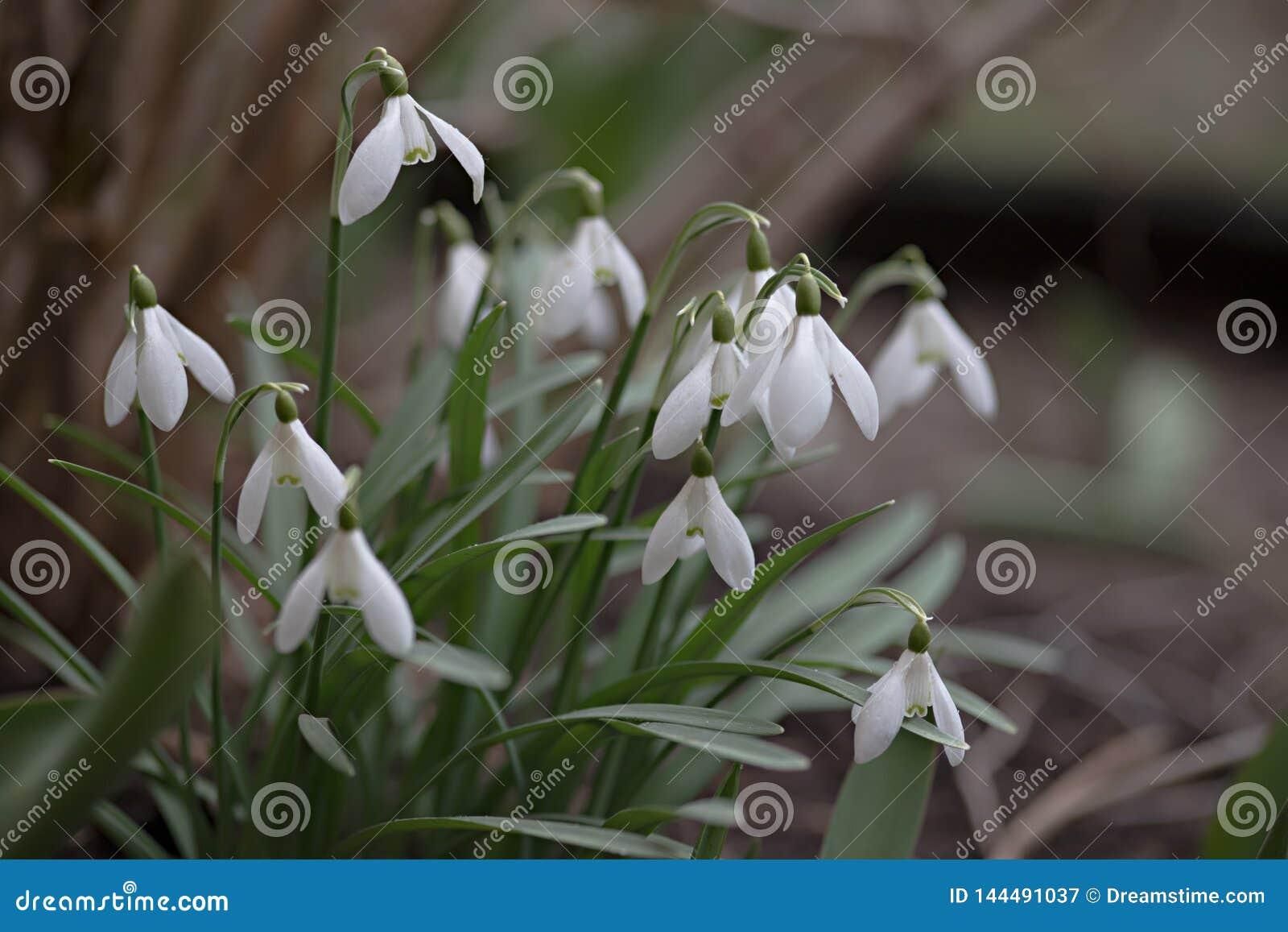 Porciones de flores blancas del snowdrop