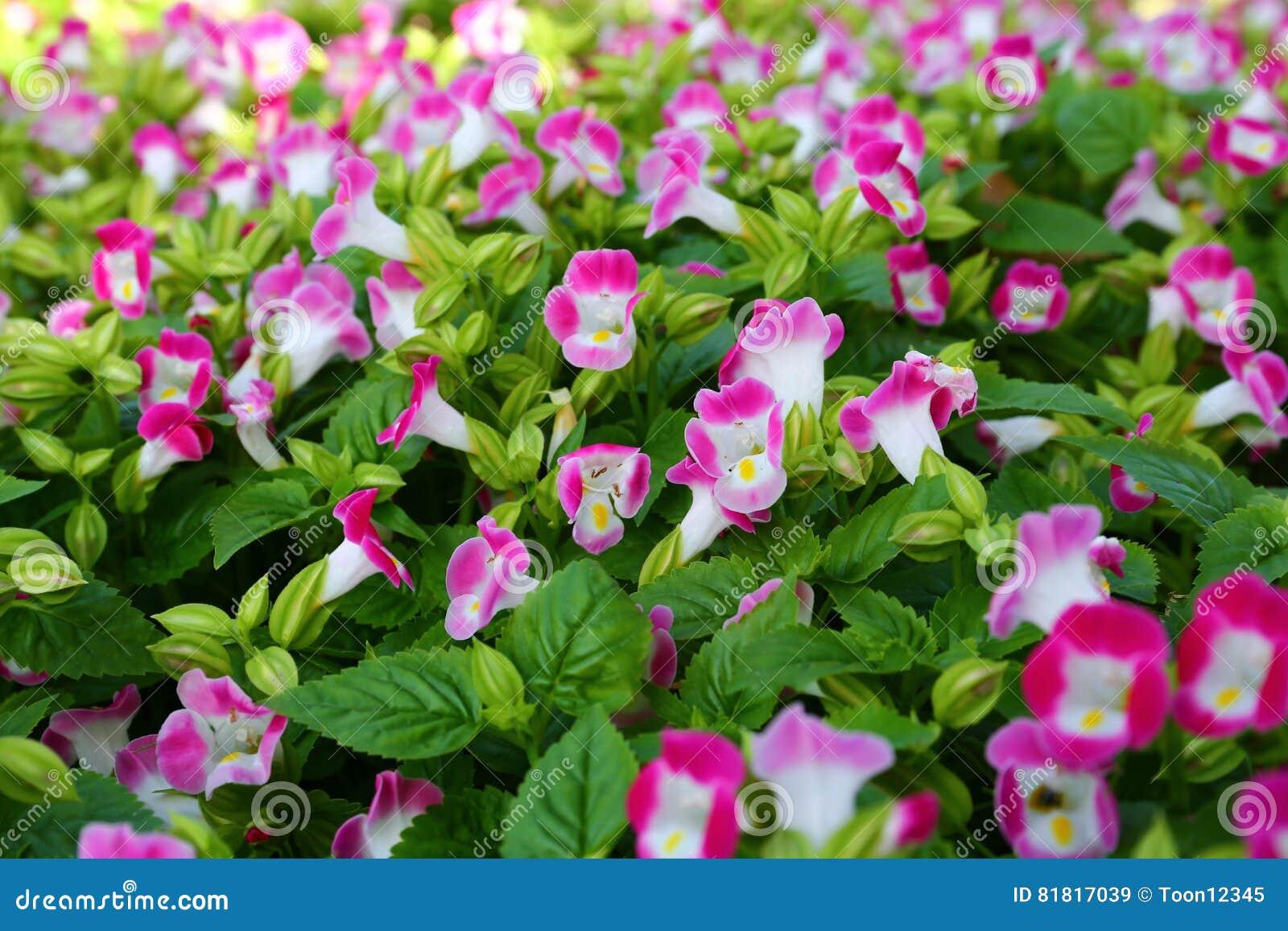 Porciones de violas rosadas