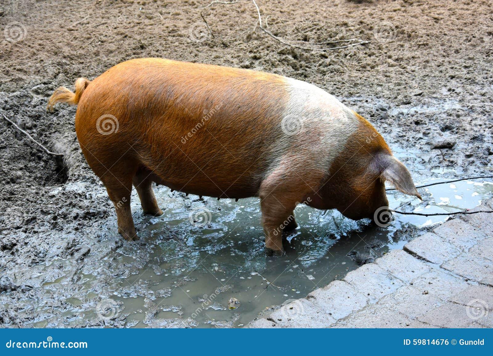 Porco dinamarquês do protesto