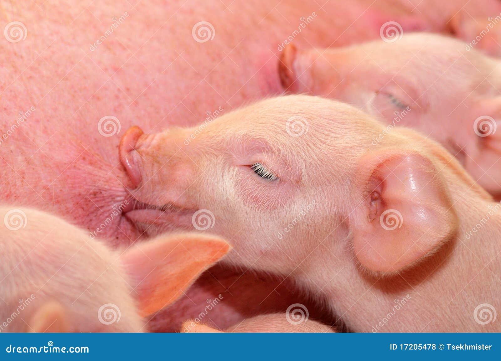 Porcos do bebê que alimentam com matriz