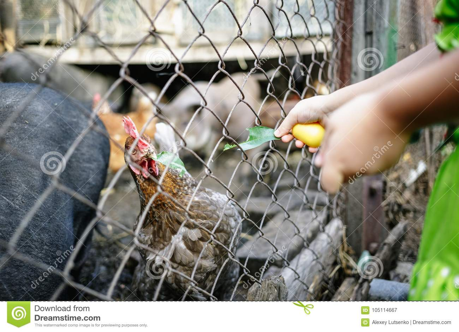 Porcos e galinhas vietnamianos de alimentação na exploração agrícola