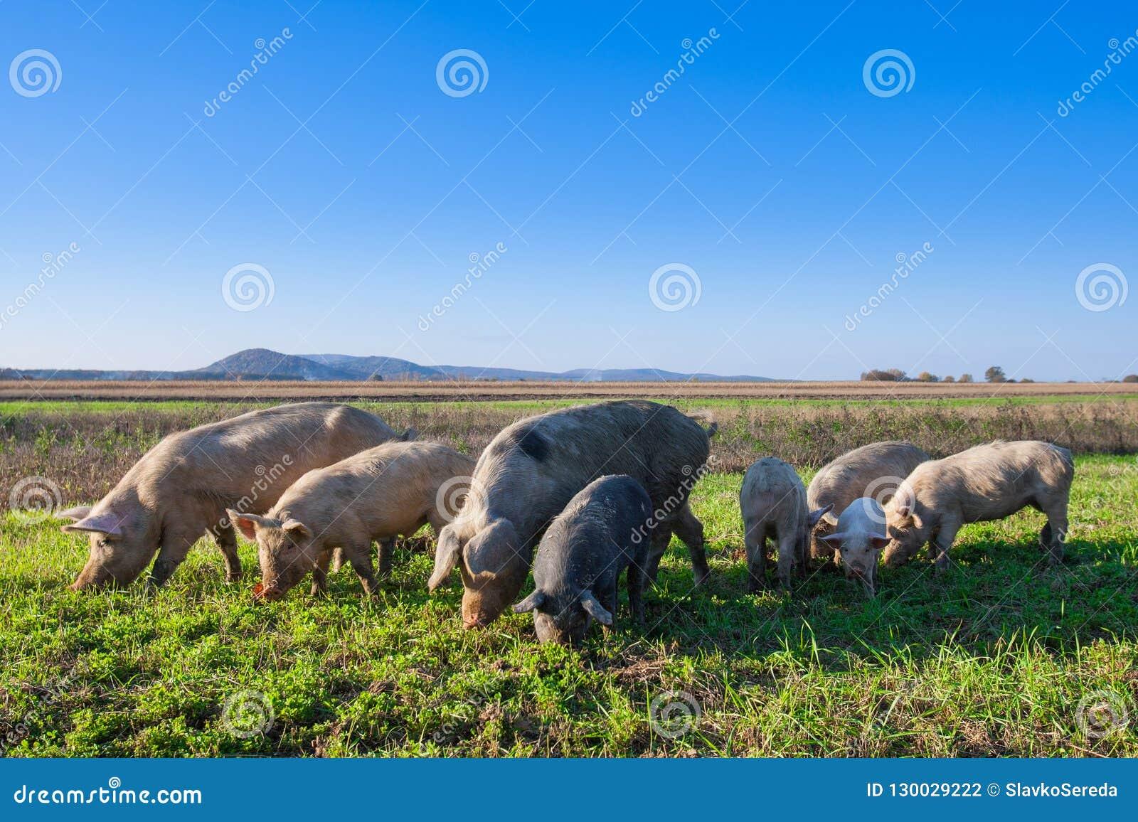 Porcos e leitão que pastam