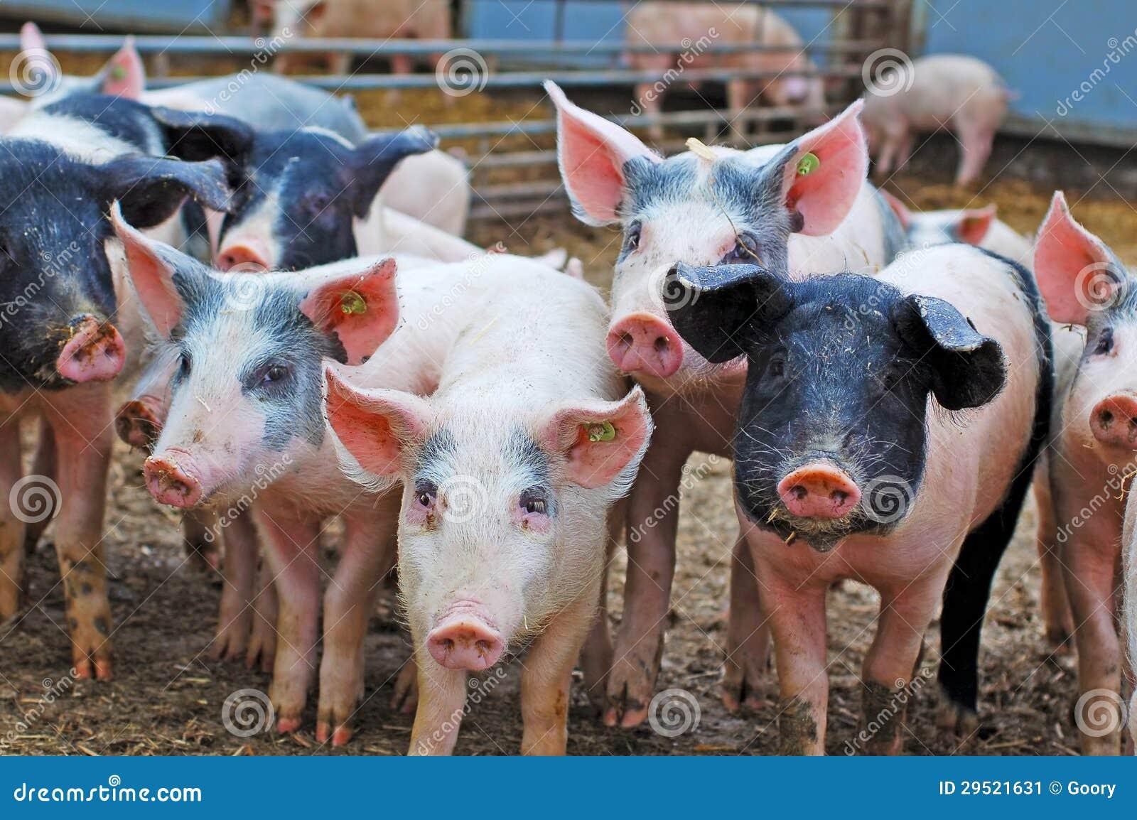Porcos na exploração agrícola
