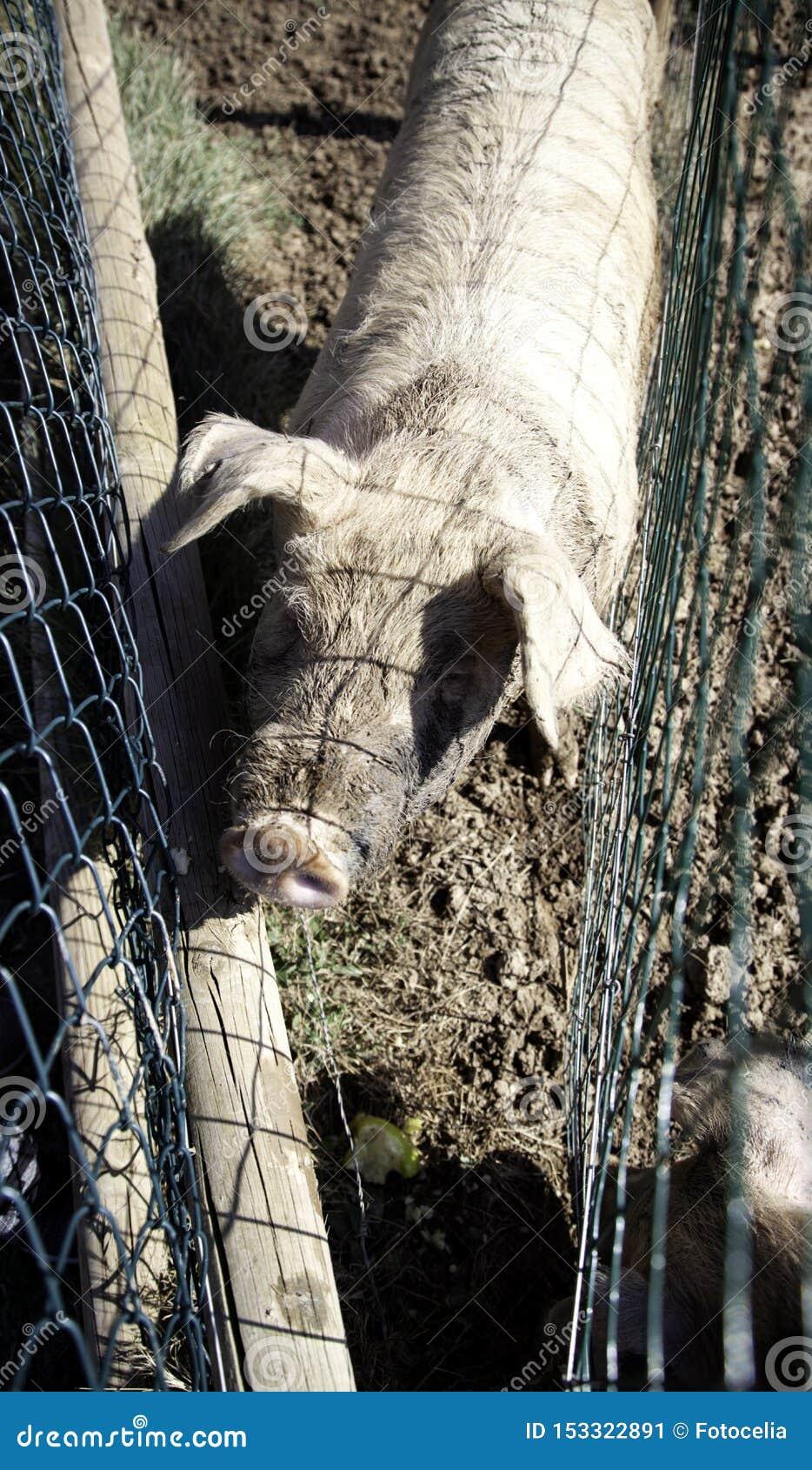 Porcos na explora??o agr?cola