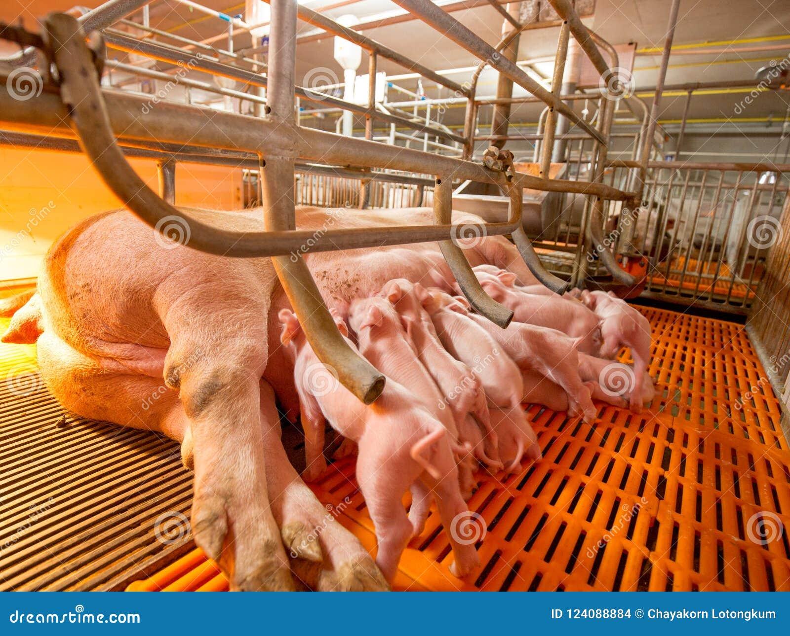 Porcs cultivant - ferme de porcs de parent