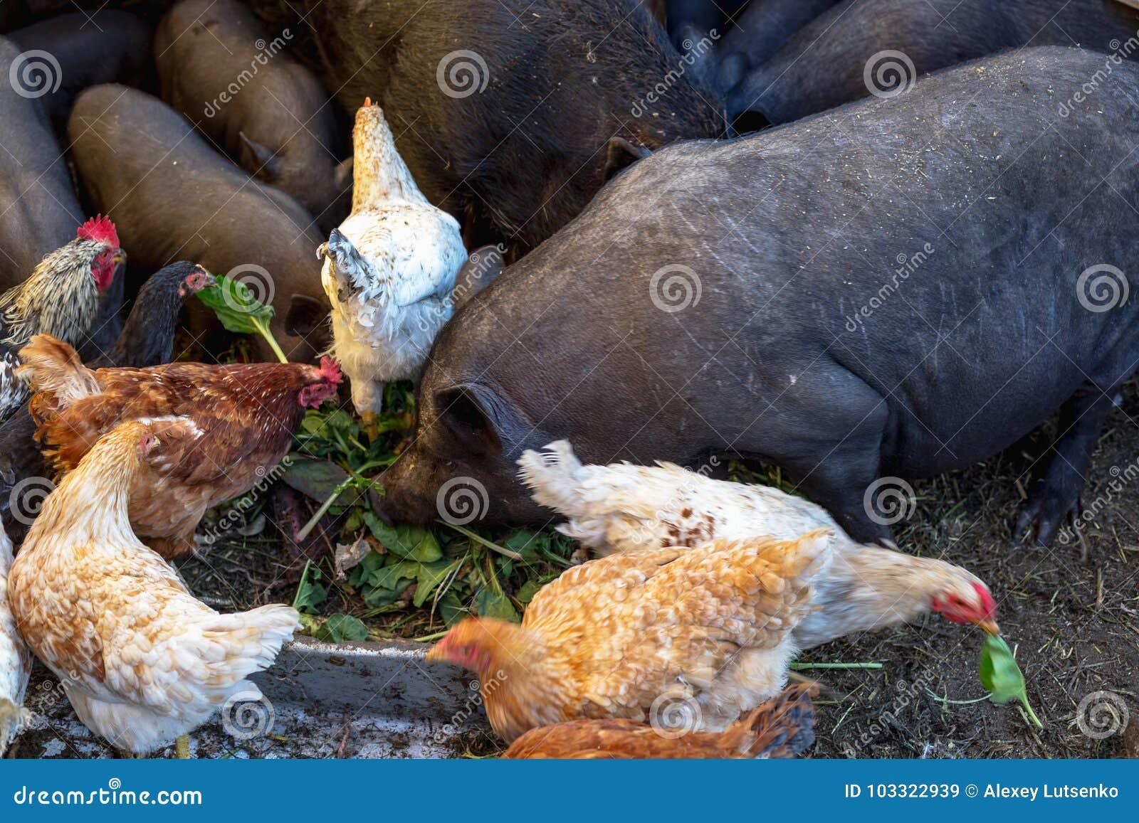 Porcs et poulet vietnamiens de alimentation à la ferme