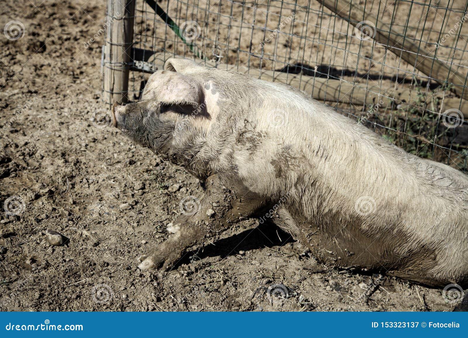 Porcs ? la ferme