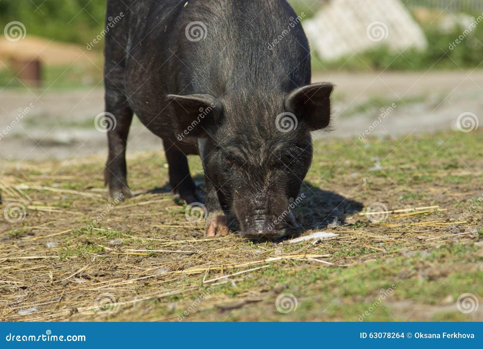 Download Porcs vietnamiens photo stock. Image du russia, ranch - 63078264