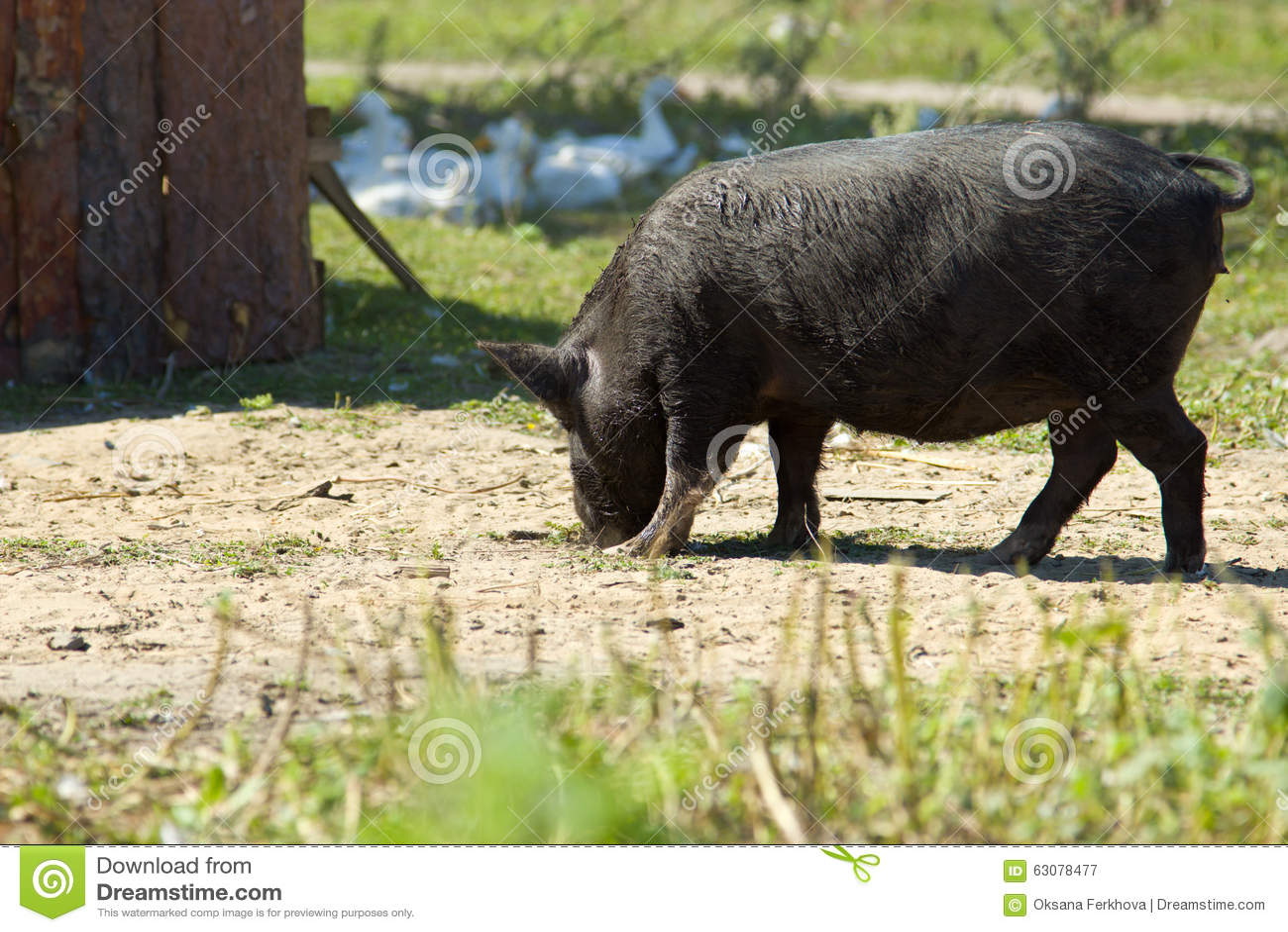 Download Porcs vietnamiens image stock. Image du animal, ferme - 63078477