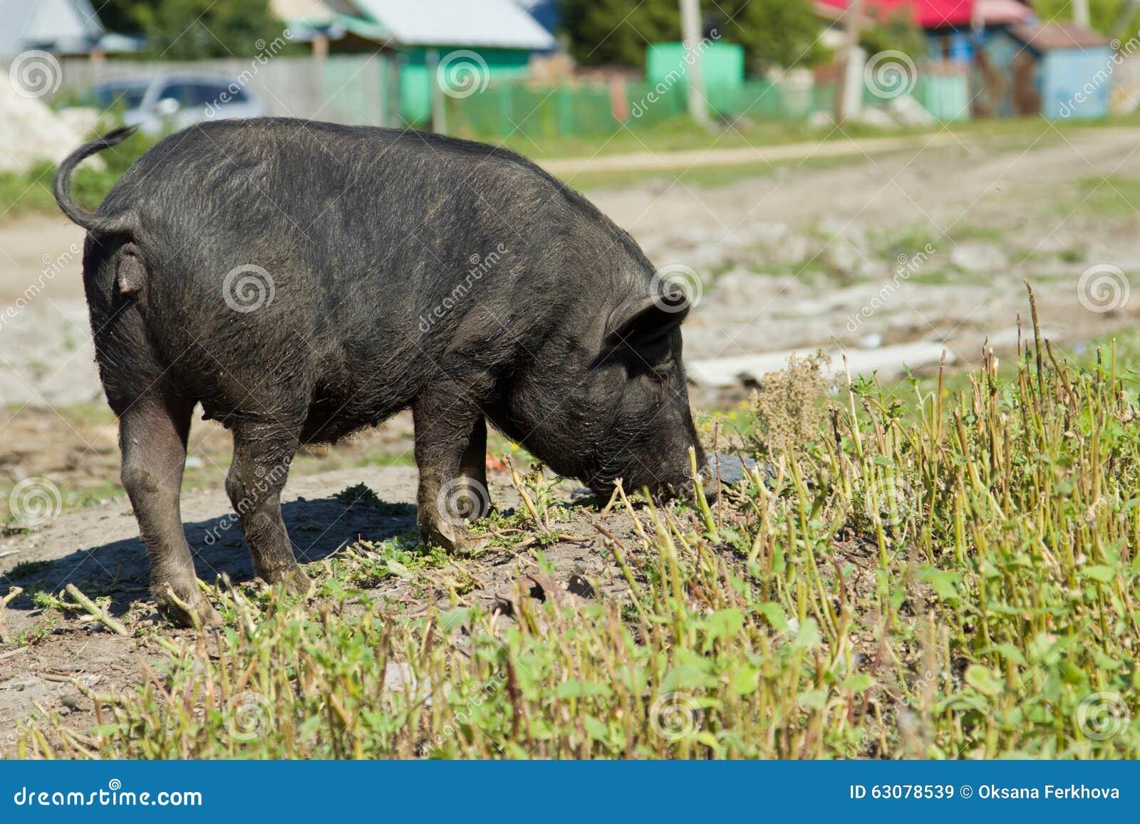 Download Porcs vietnamiens image stock. Image du snoot, grange - 63078539