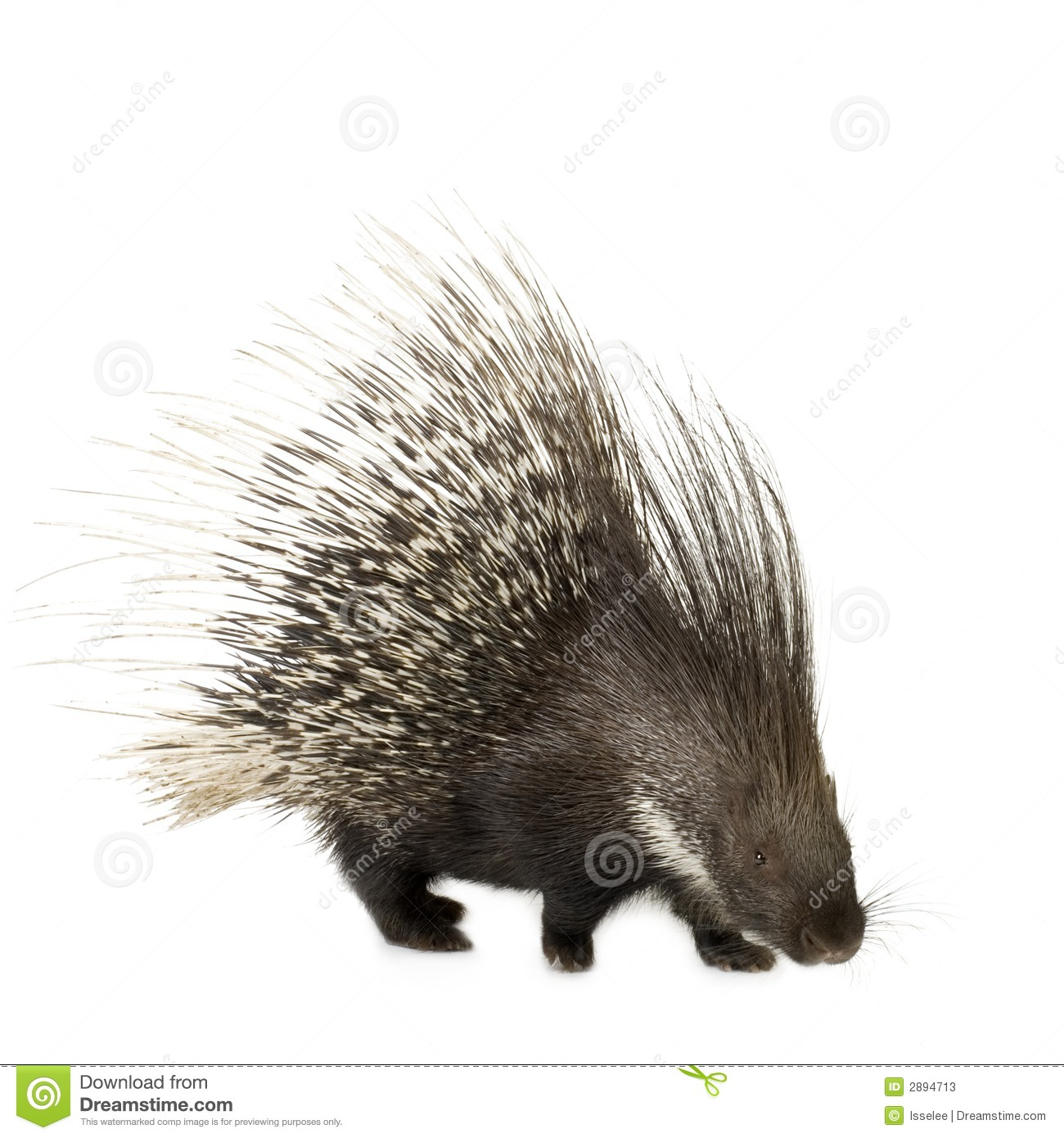 wild hog map with Stock Photos Porcupine Image2894713 on BrownCreeperWinterMap moreover Royalty Free Stock Photo Warthog Running Hog Image26848495 further Stock Photos Porcupine Image2894713 additionally Hedgehogs moreover File Canis lupus dingo  Fraser Island.