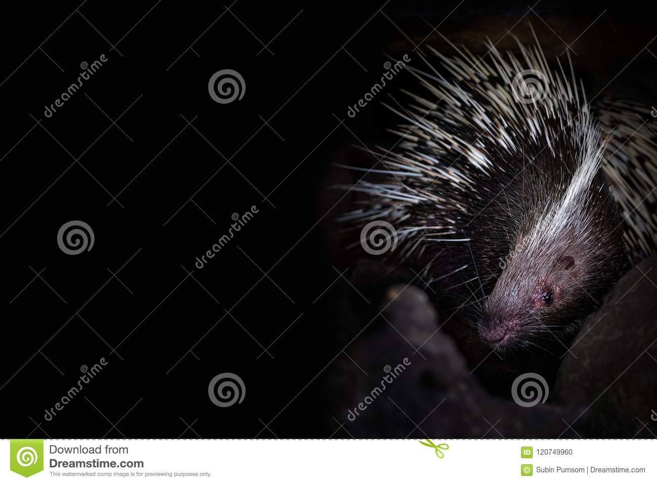 Porcupine in the cave hole on black background