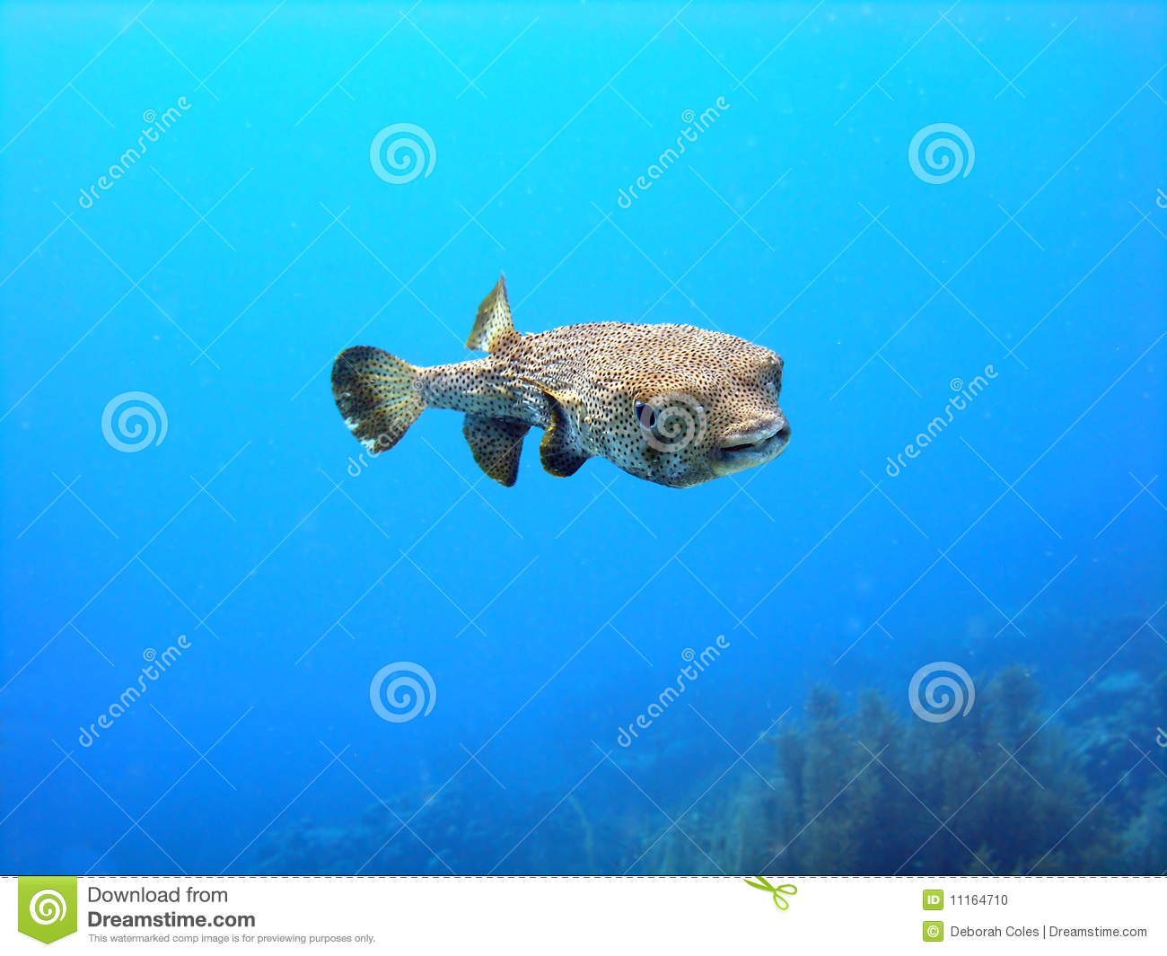 Porcupine puffer fish stock photo image of sunny diver for Puffer fish price