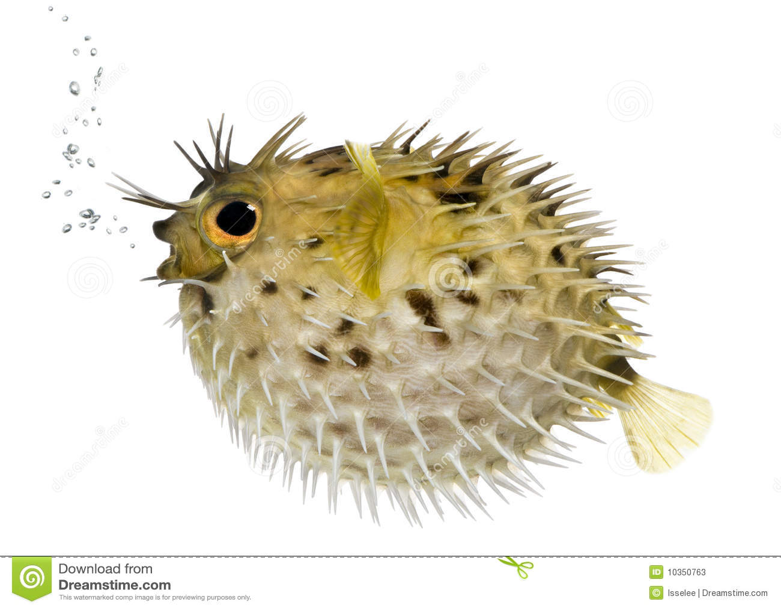 Porcupinefish długi kręgosłup