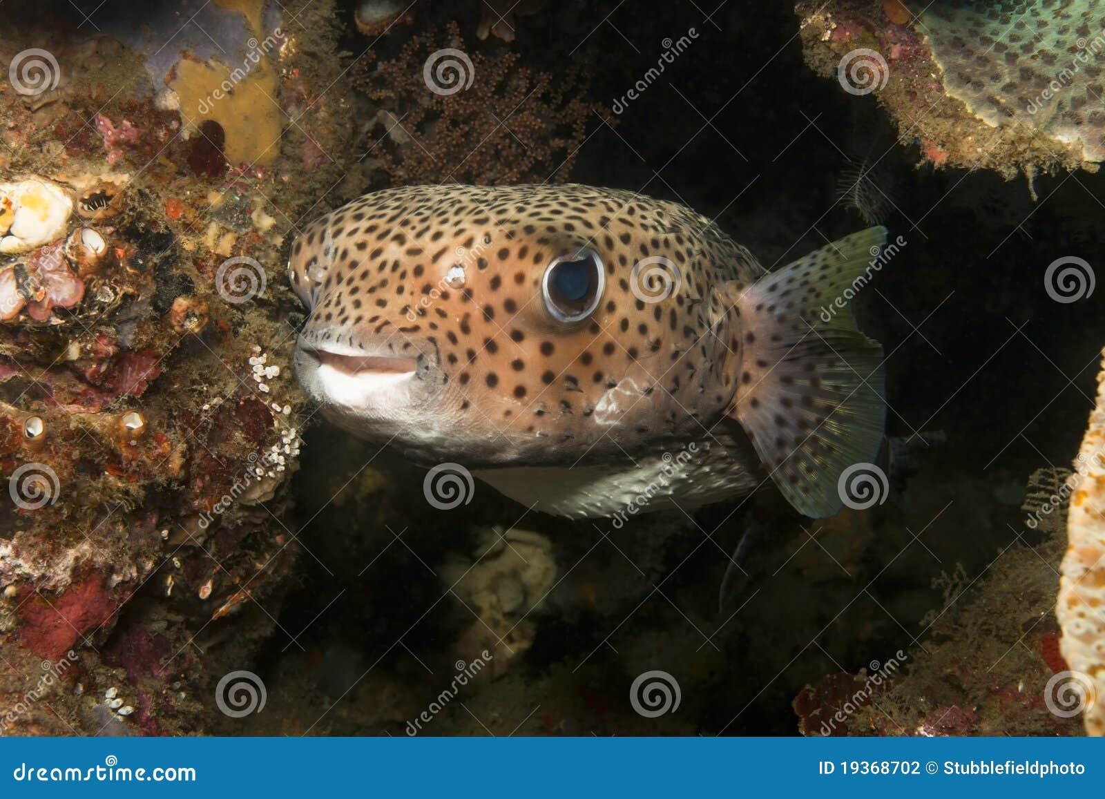 Porcupinefish (hystrix do Diodon)