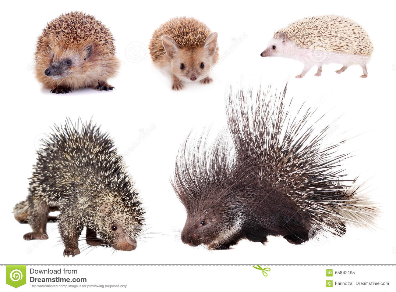 Porcupines And Hedgehogs Set On White Stock Photo - Image ...