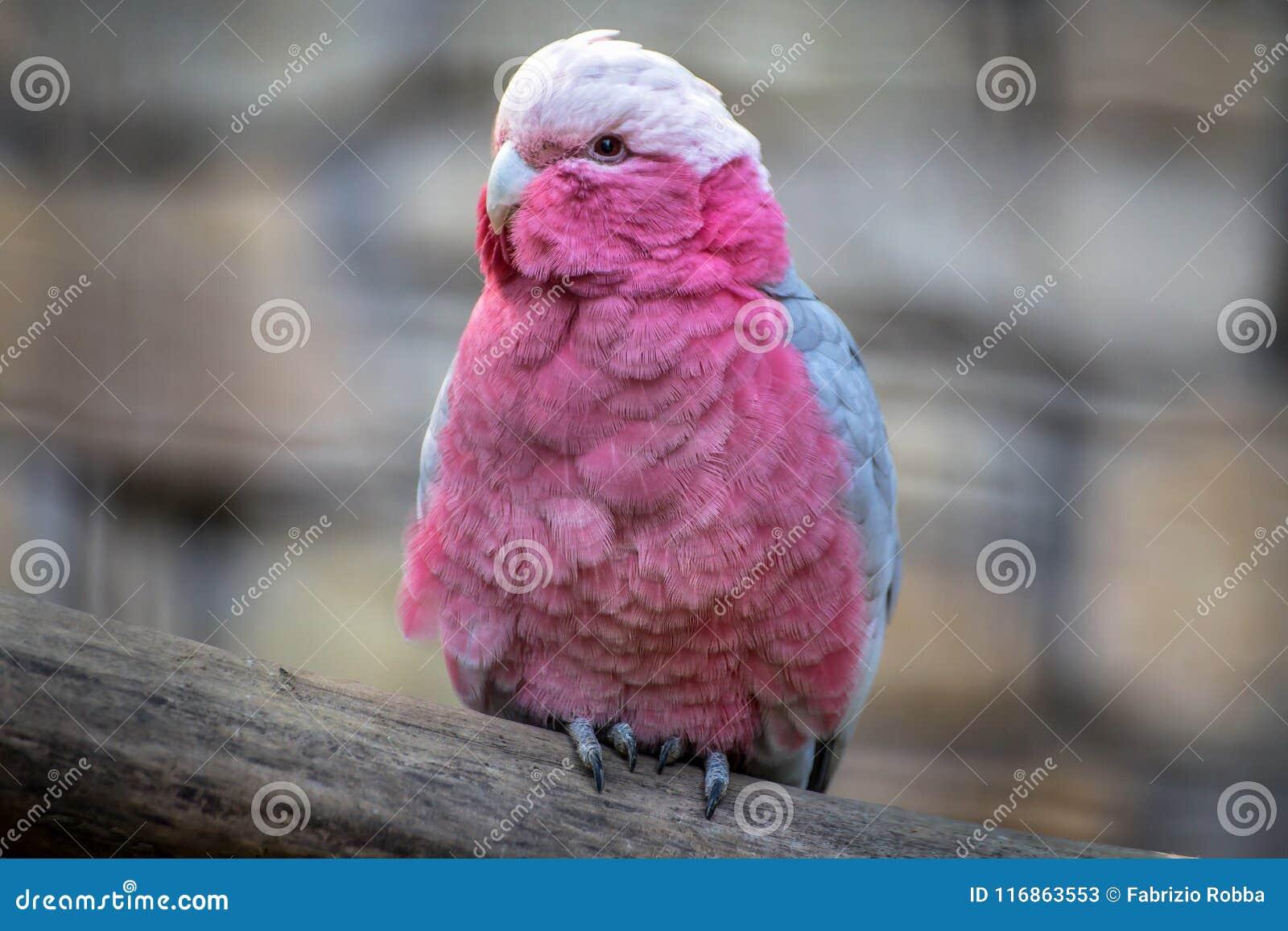 Portait de cacatoès rose