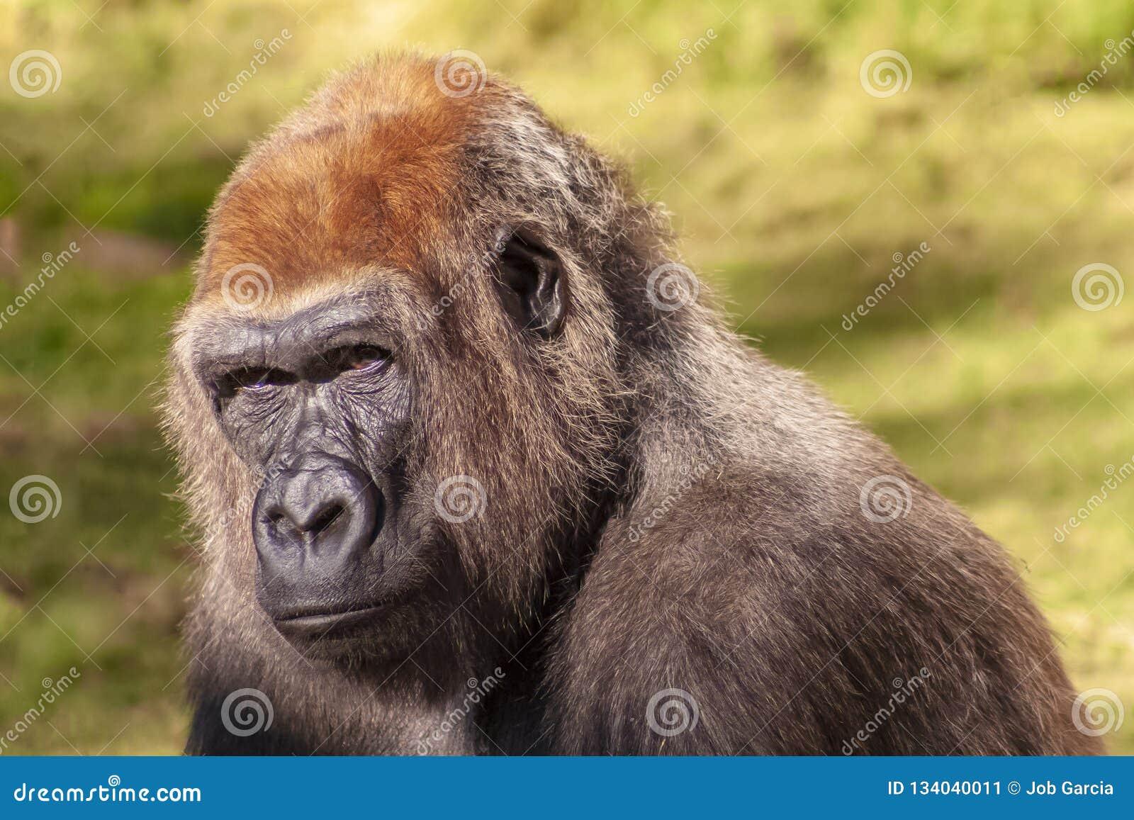 Portarit van een mannelijke gorilla