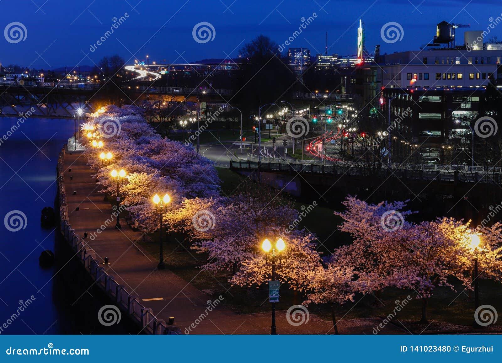 Portland Oregon Cherry Blossoms na baixa na mola