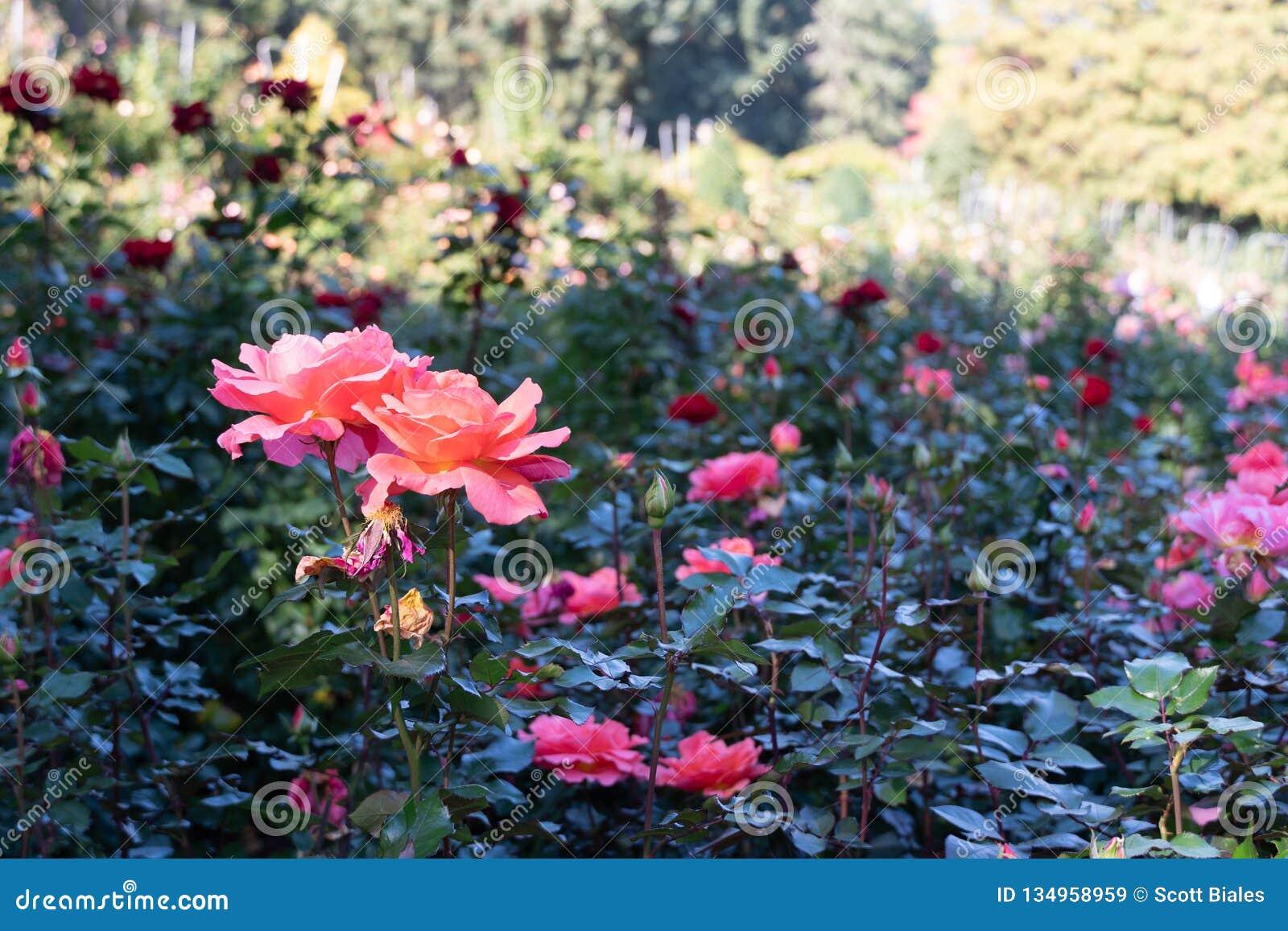 Portland Rose Garden Stock Image Image Of Drops Plants 134958959