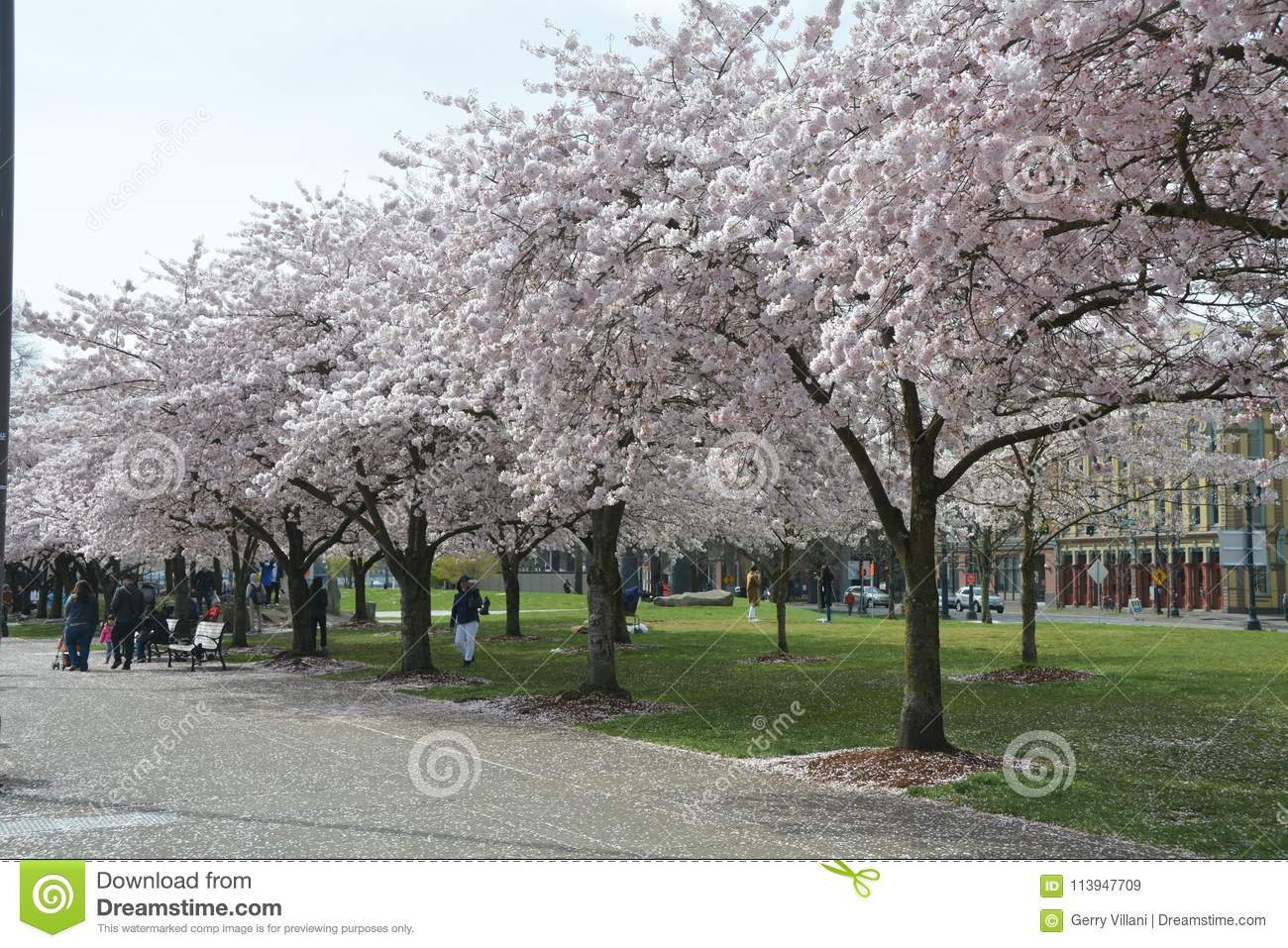 Download Cherry Blossoms At Tom McCall Waterfront Park In Portland, Oregon Editorial Stock Image - Image of park, blossoms: 113947709