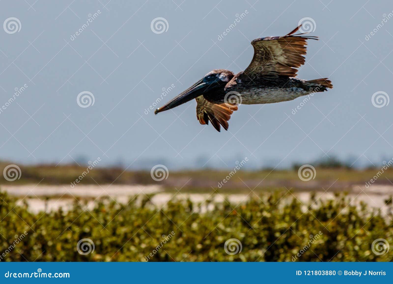 Porto Aransas Texas do pelicano de Brown do voo