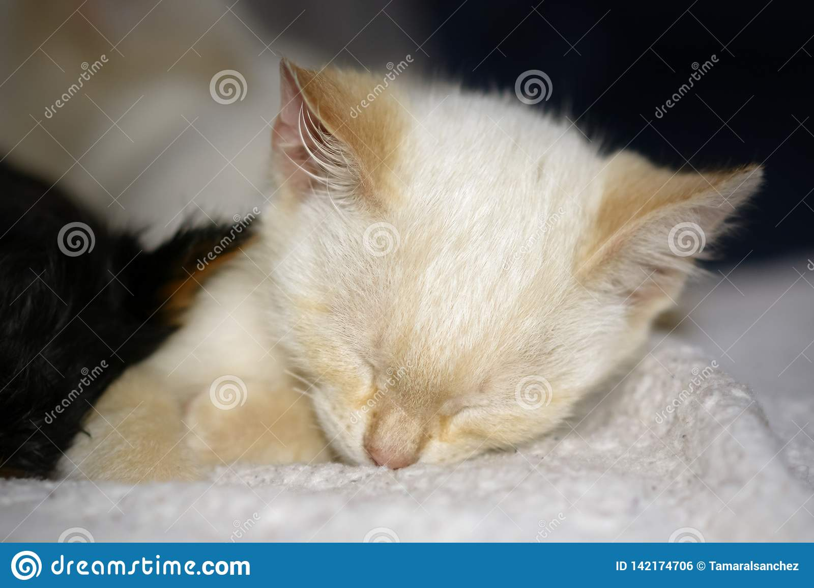 Porträt eines netten schlafenden Kätzchens