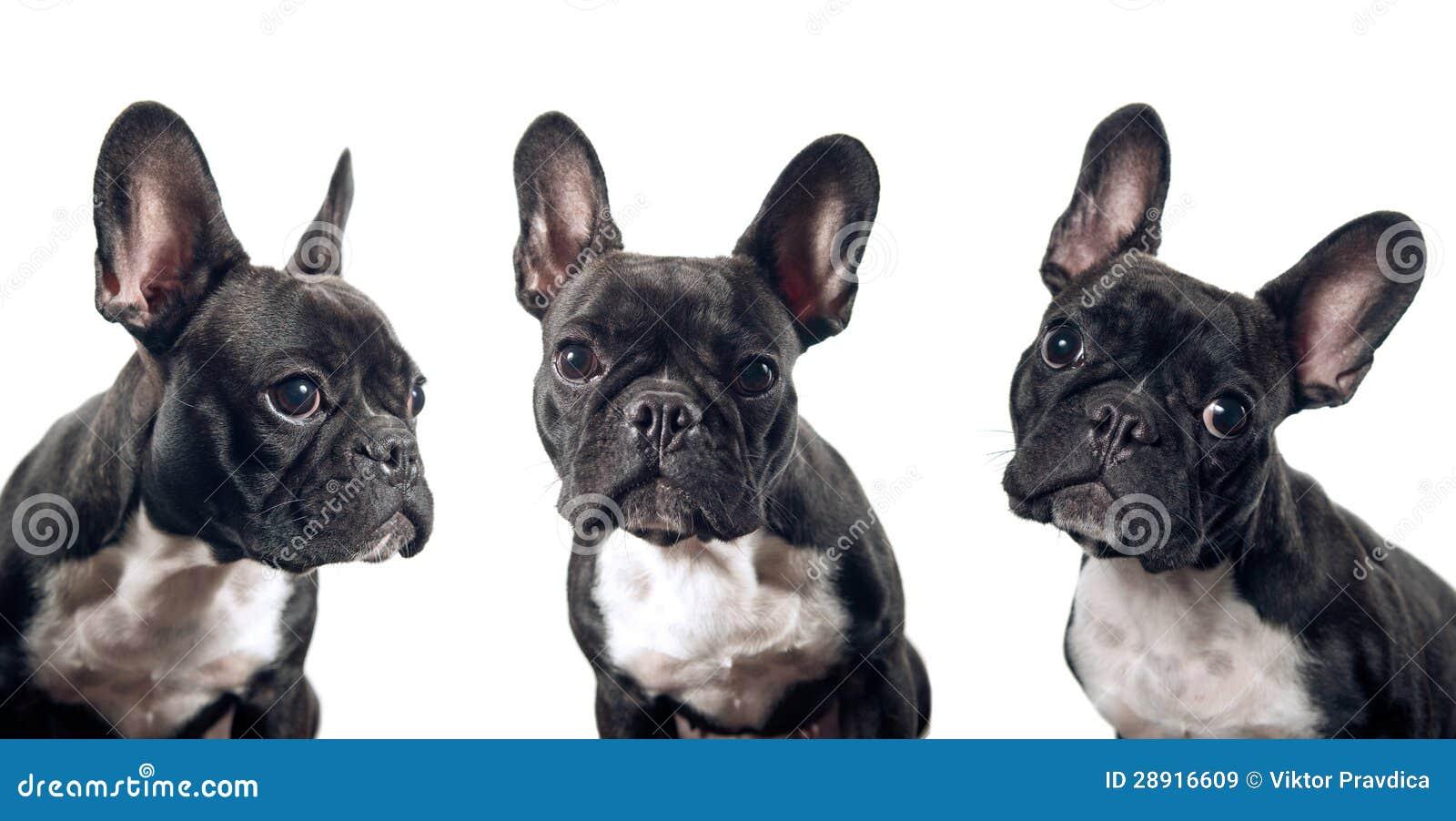 Porträt der französischen Bulldogge