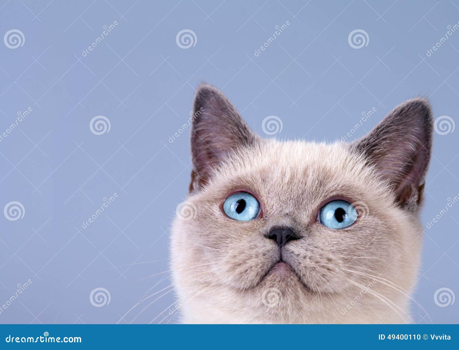 Download Porträt Der Netten Siamesischen Katze Stockfoto - Bild von hintergrund, kitten: 49400110