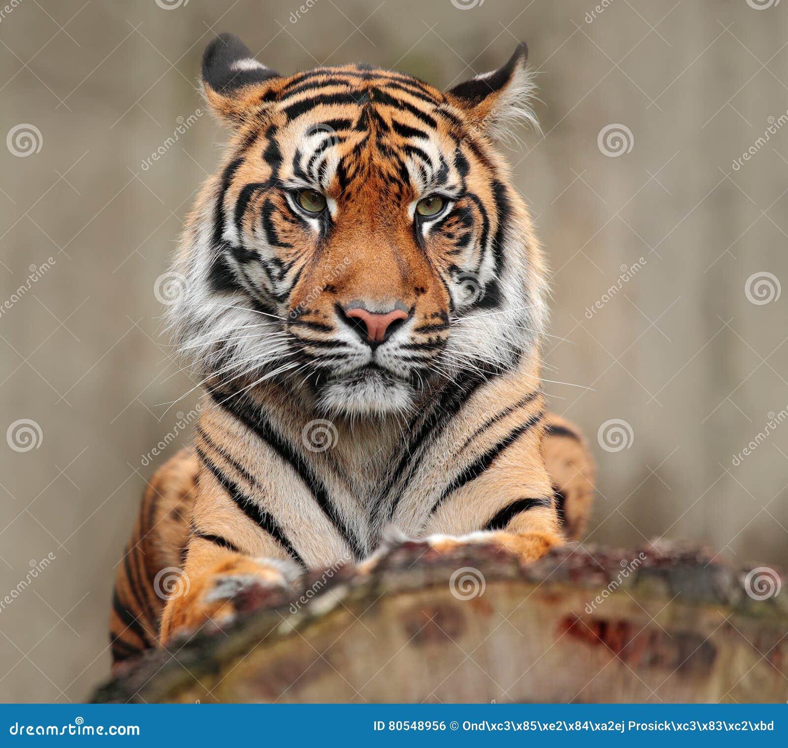 Porträt des gefährlichen Tieres Sumatran-Tiger, der Pantheratigris-sumatrae, seltene Tigerunterart, die die indonesische Insel be