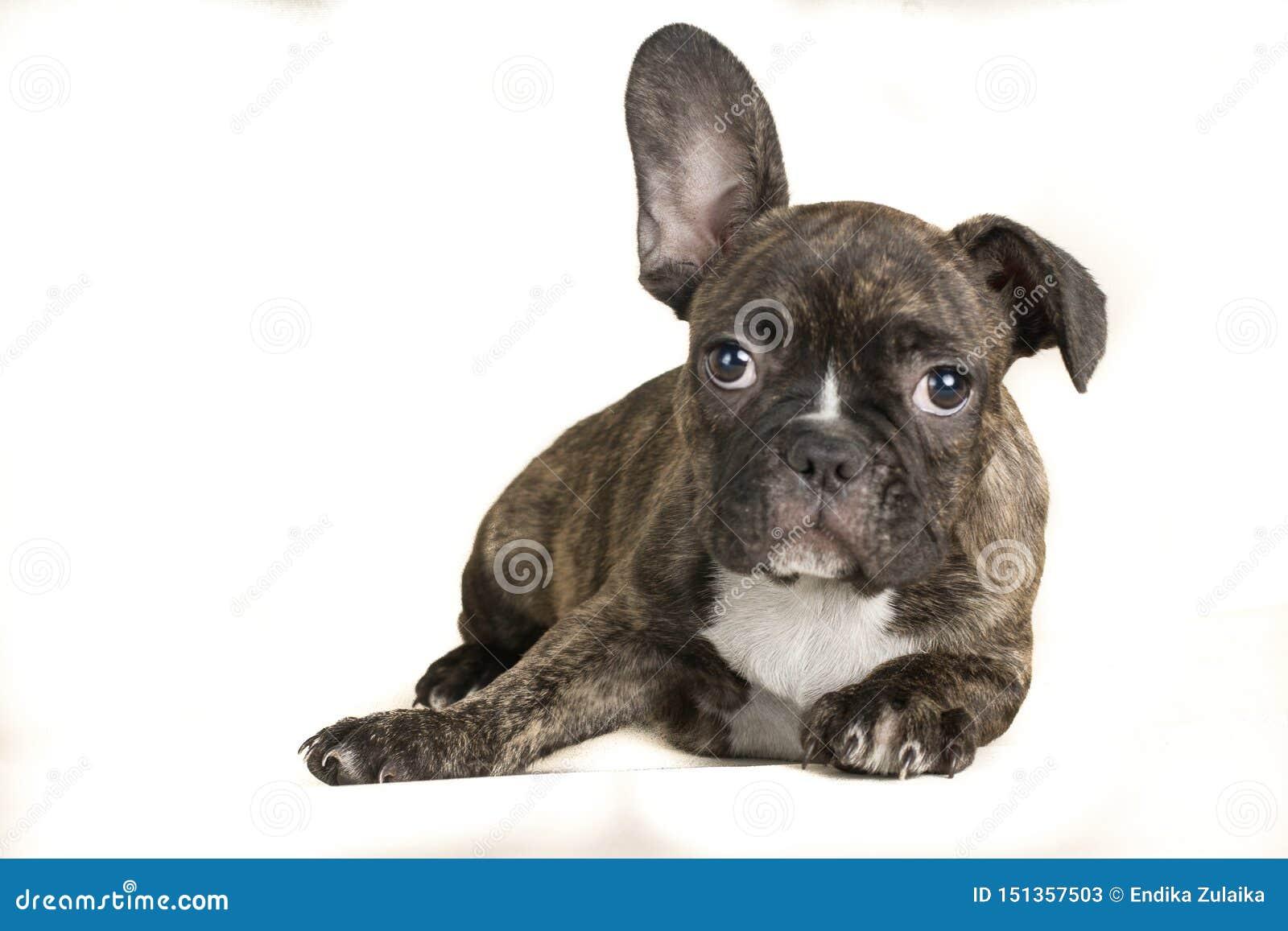 Porträt des liegenden fullbody braunen Hundes der französischen Bulldogge - Textraum auf dem links