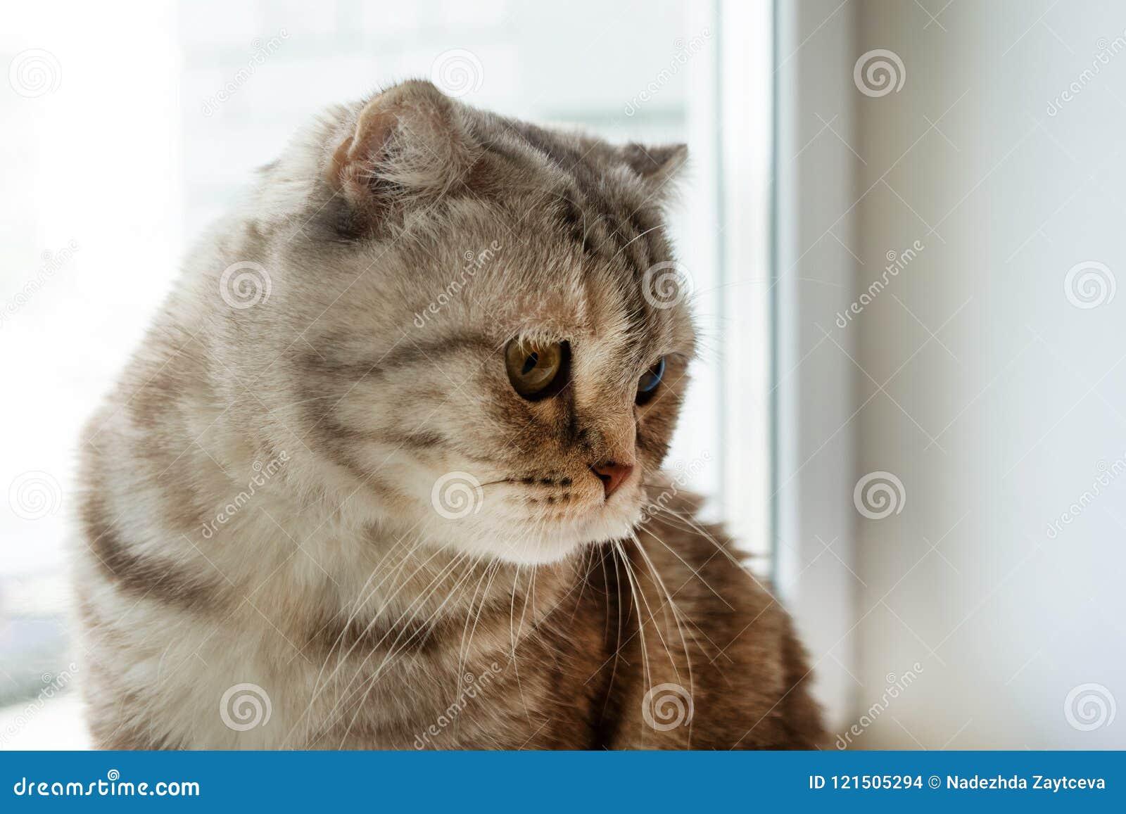 Porträt des schönen flaumigen grauen Scottish der getigerten Katze falten Katze