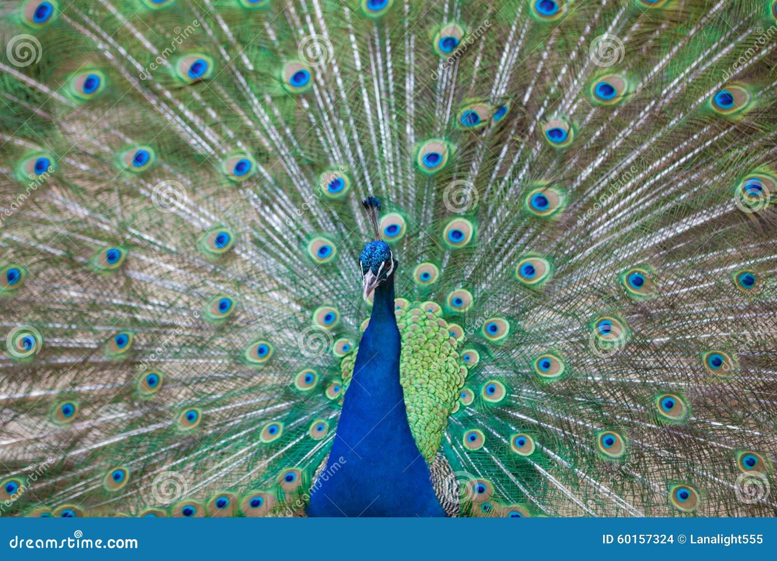 Porträt des schönen Pfaus mit Federn heraus