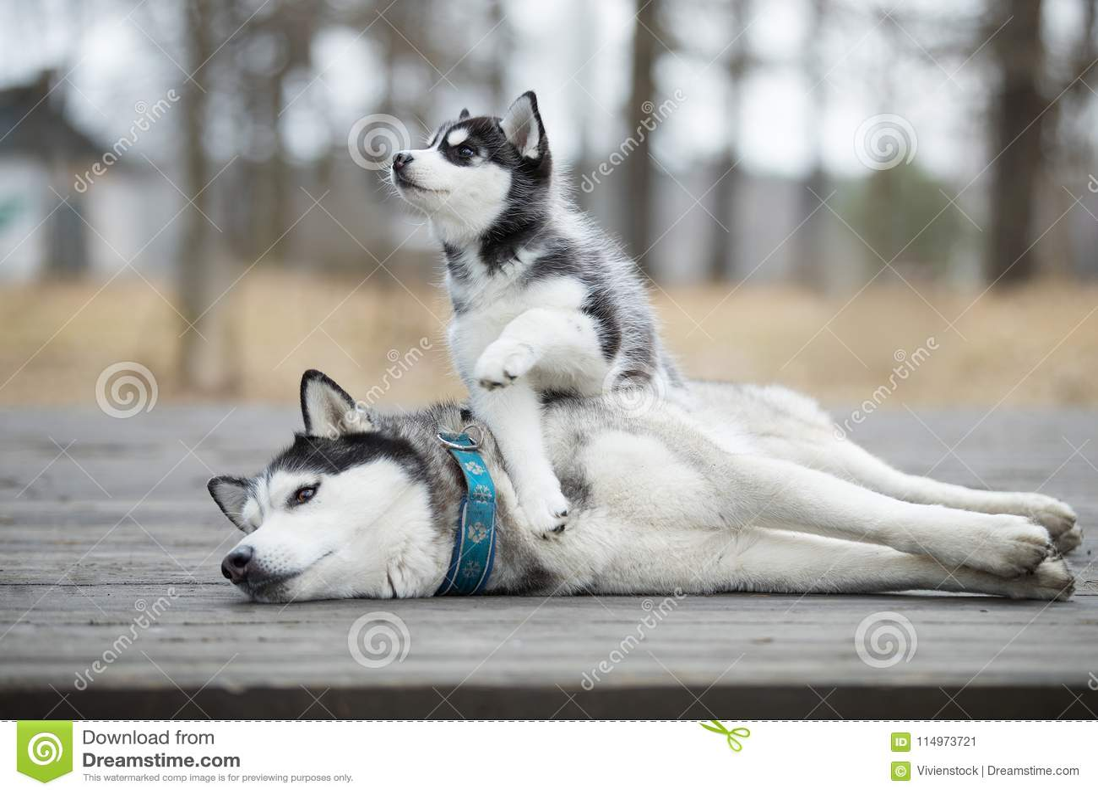 Porträt des weiblichen Schlittenhunds mit Welpen