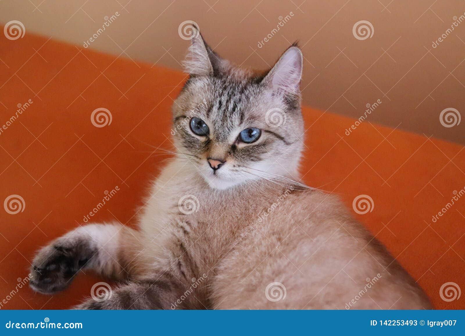 Porträt einer jungen hellen beige Katze, die zu Hause stillsteht Das flaumige Haustier