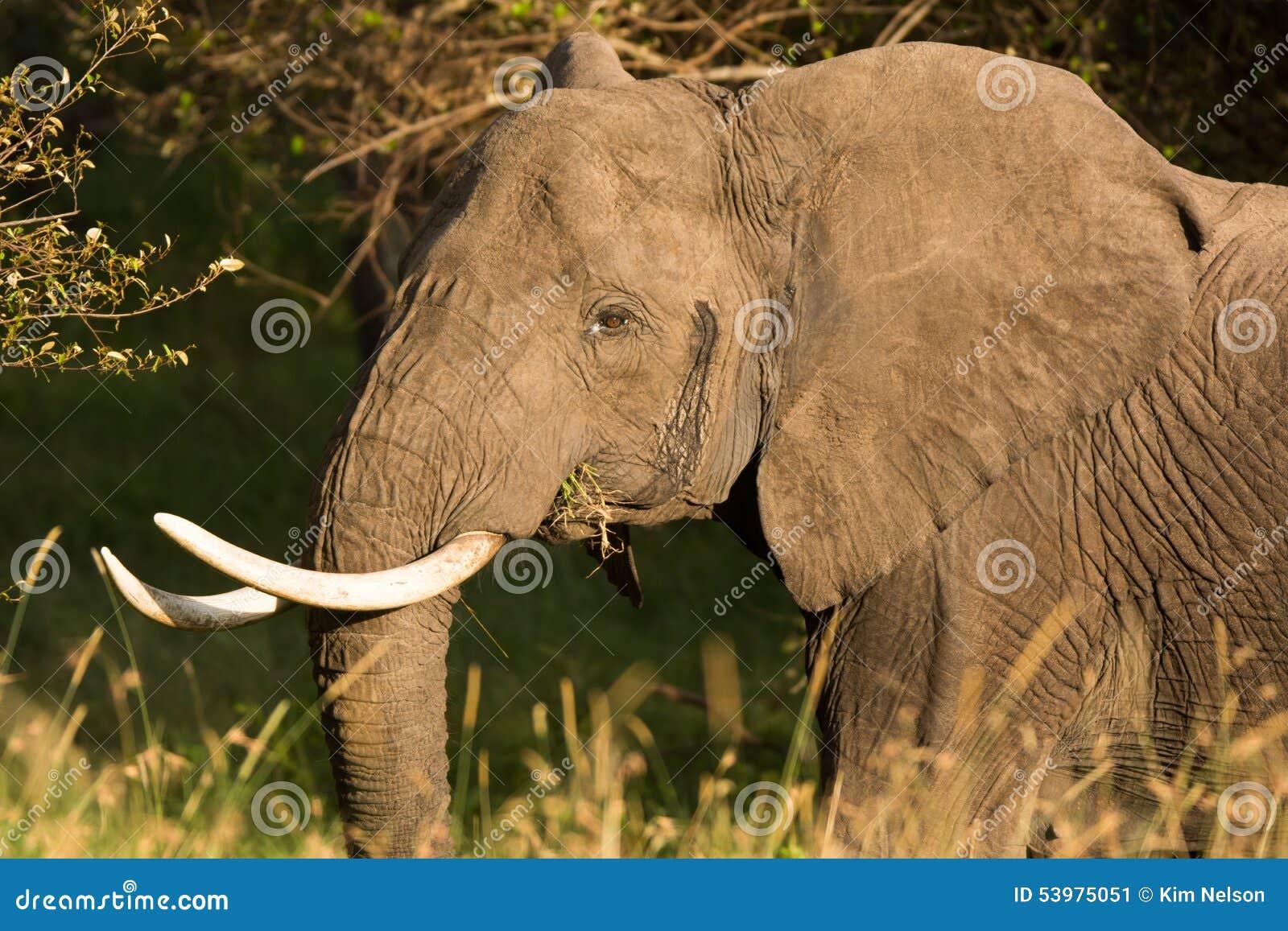 Porträt eines Elefanten, der auf Bissen Gras, Tansania kaut