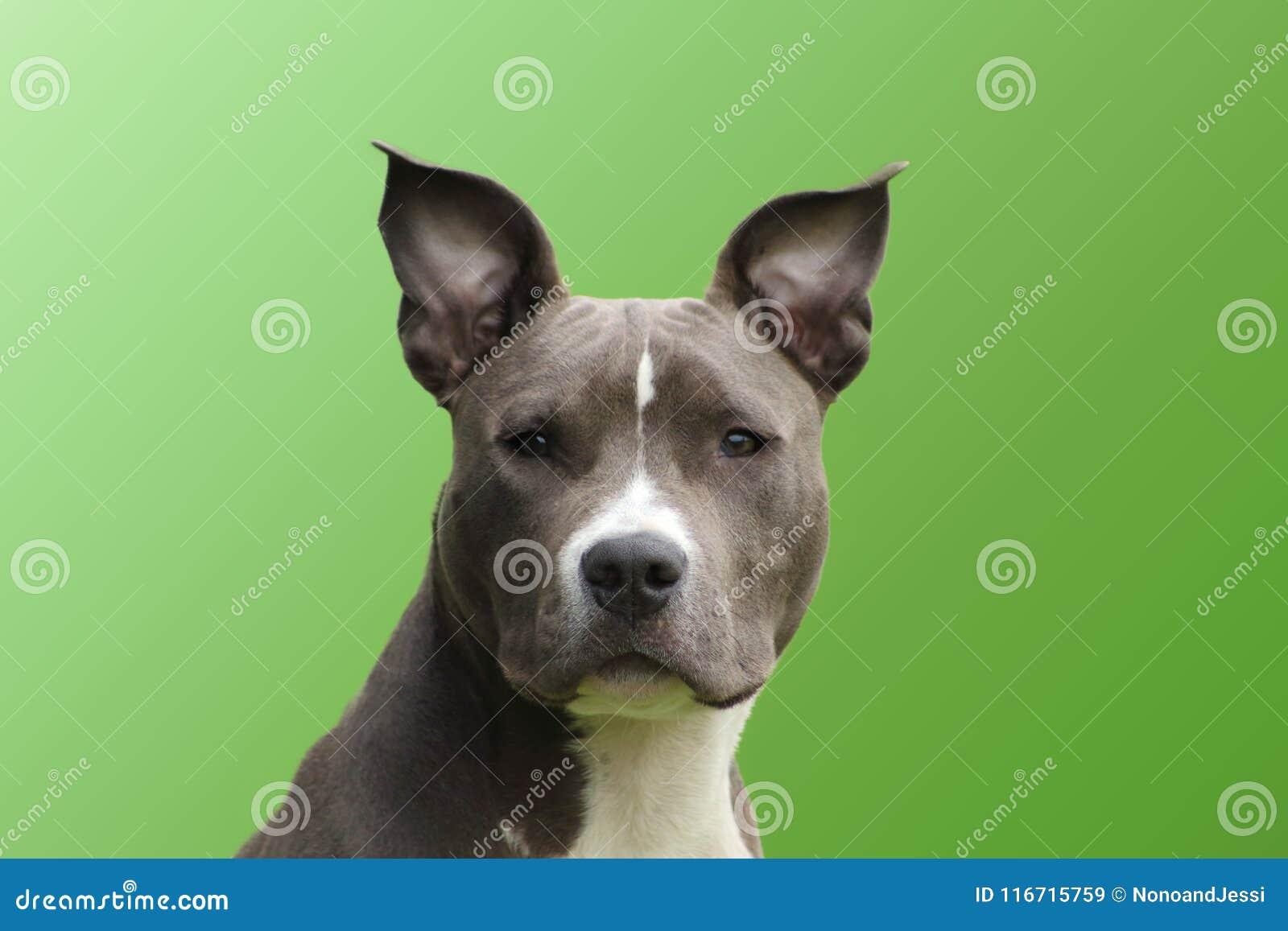Porträt eines jungen amerikanischen Hunde-Staffordshire-Terrierblaus mit einem lebhaften rührenden Klo
