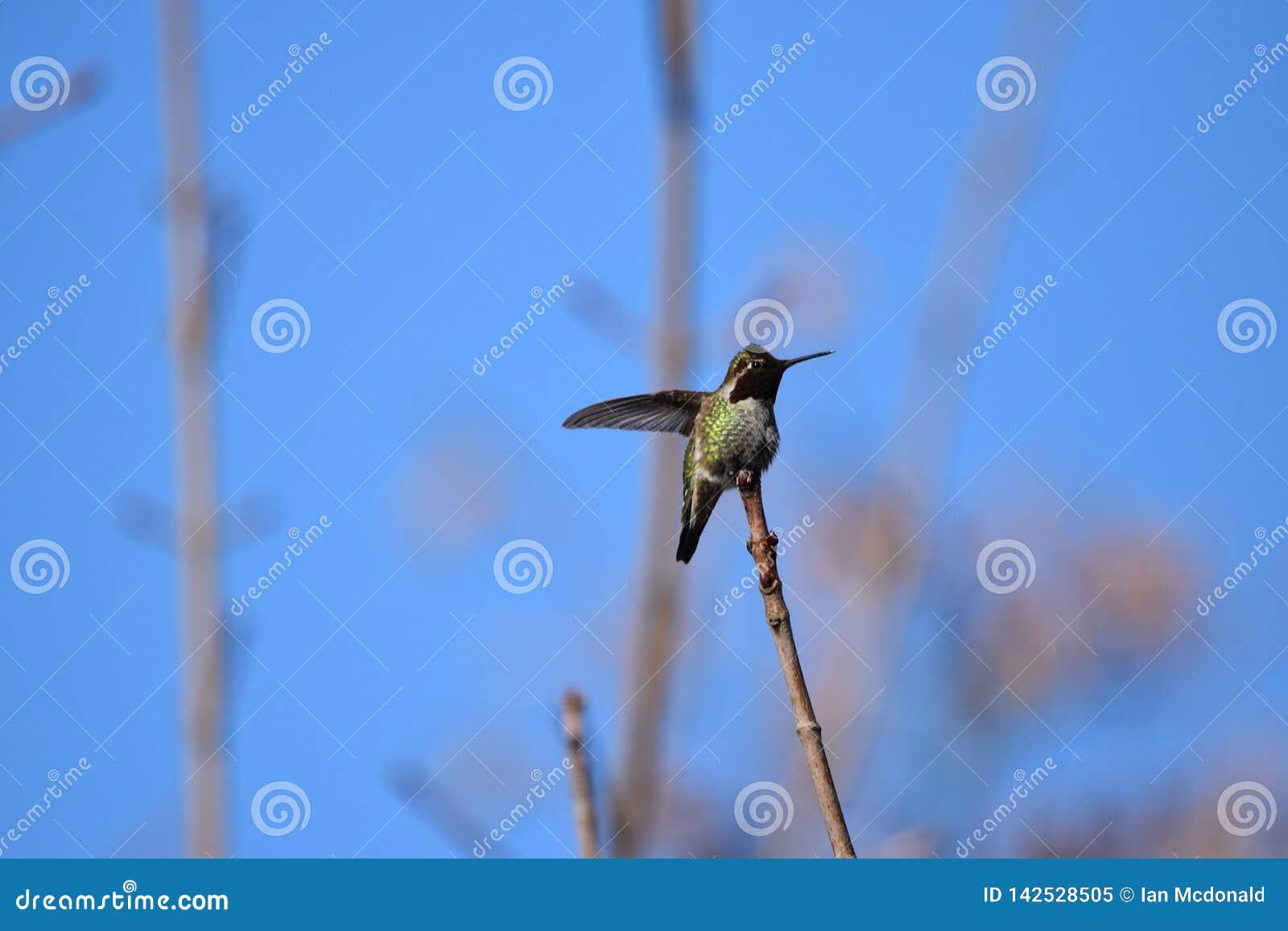 Porträt eines Kolibris