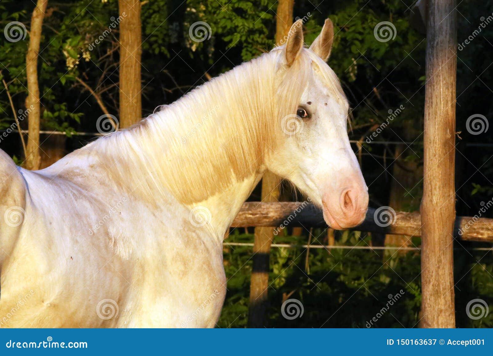 Porträt eines reinrassigen grauen arabischen Hengstes Nahaufnahme eines jungen reinrassigen Pferds Reinrassiges junges shagya ara