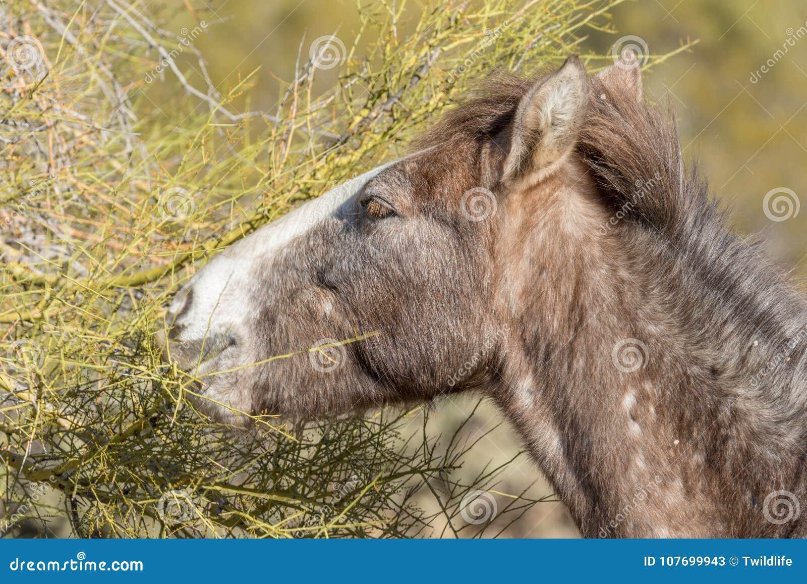 Porträt eines wildes Pferdeessens