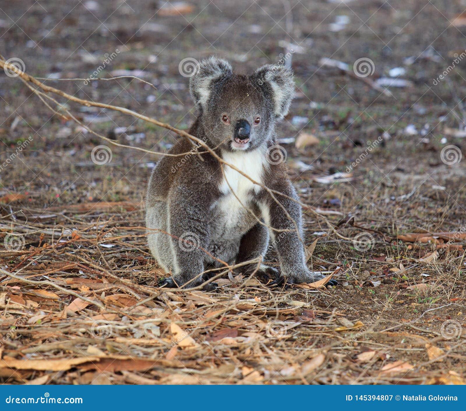 Porträt-netter kleiner australischer Koala-Bär, der aus den Grund in einem Eukalyptuswald sitzt und mit Neugier schaut k?nguruh