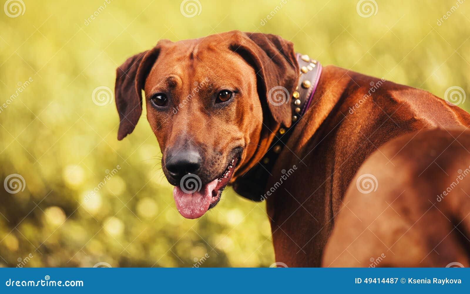 Download Porträt Rhodesian Ridgeback Im Herbst Stockbild - Bild von entzückend, adorable: 49414487