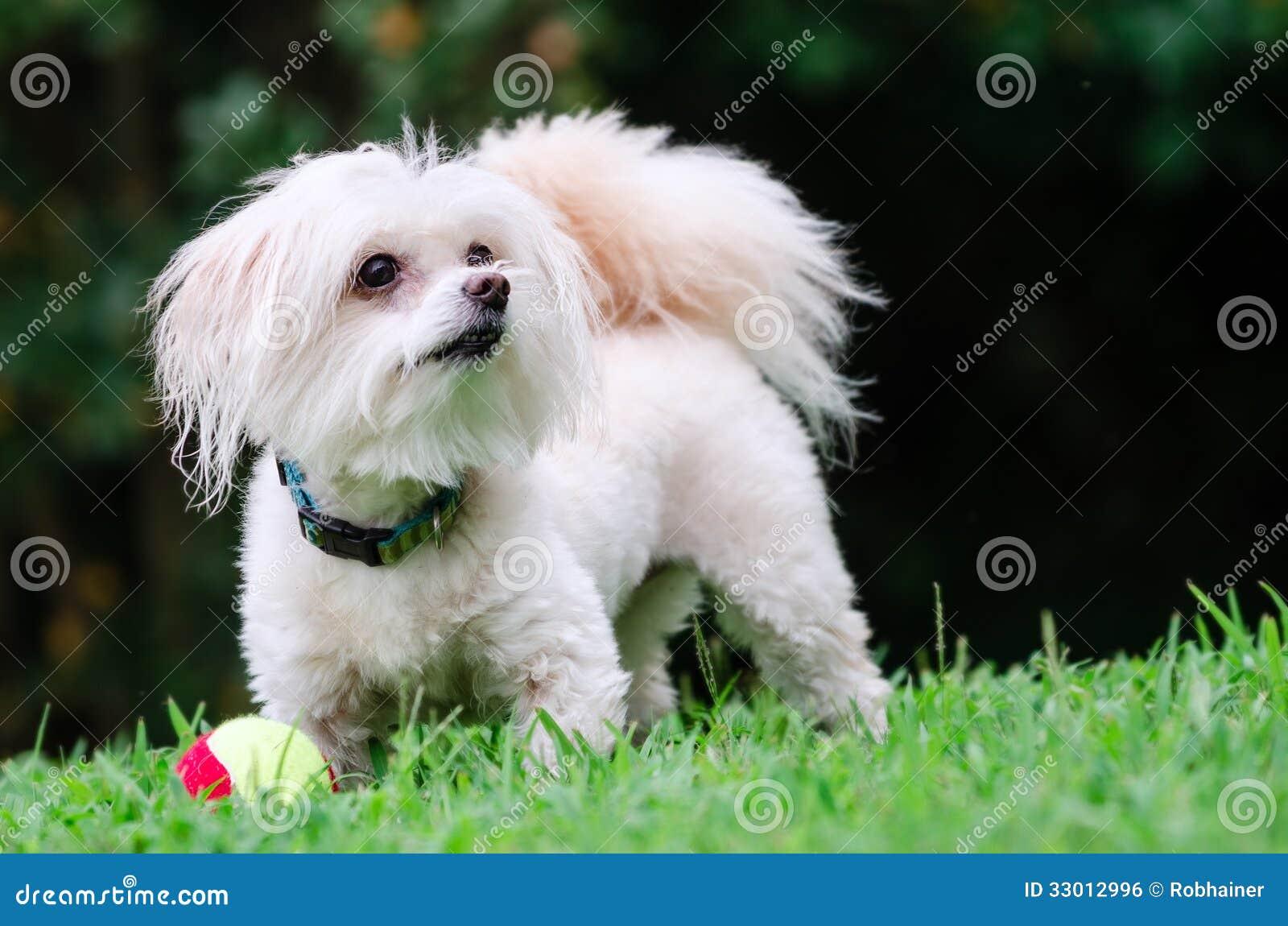 Porträt von maltipoo Hund spielend mit Ball