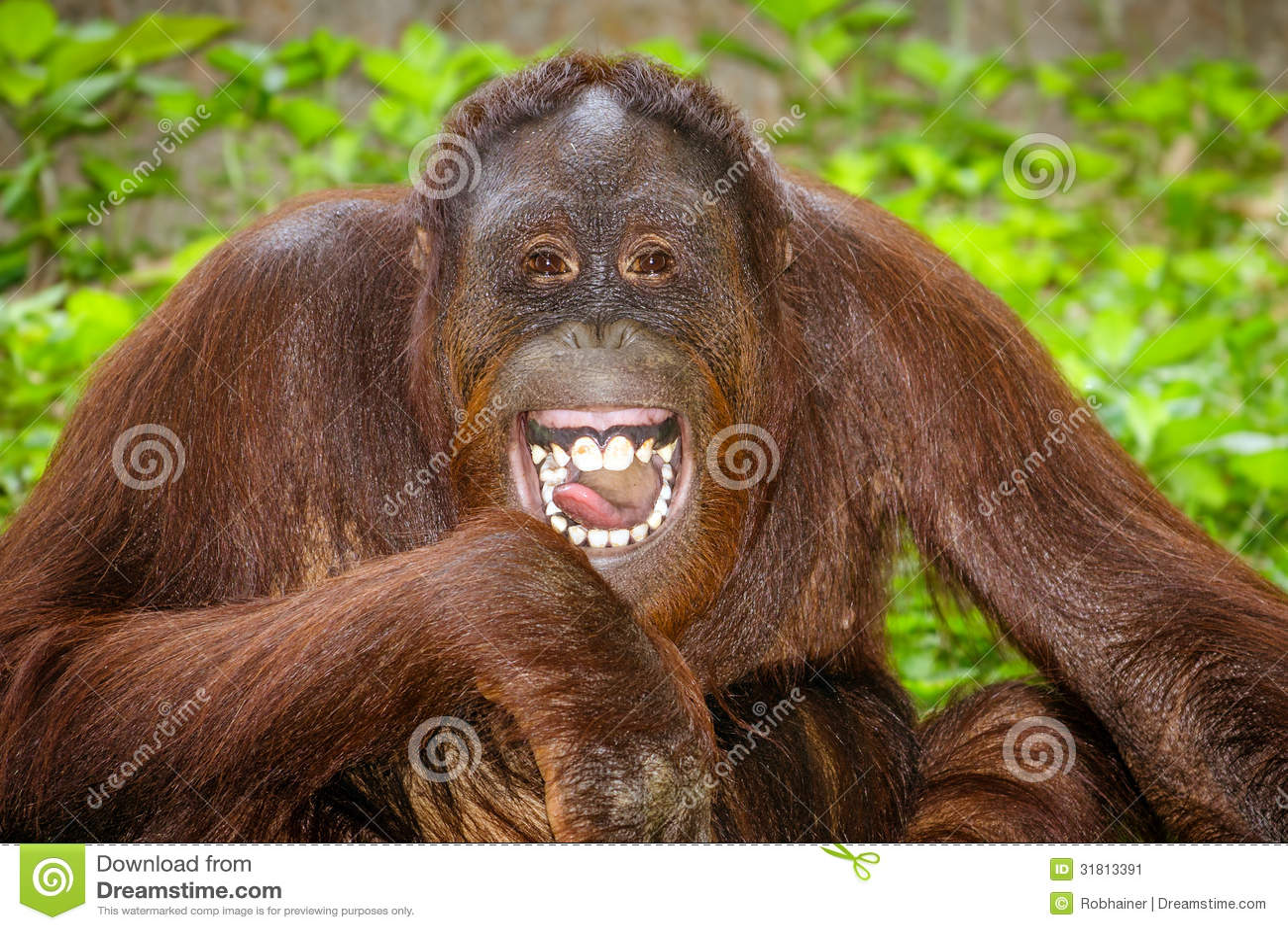 Porträt von Orang-Utan (Pongo pygmaeus) Lachen
