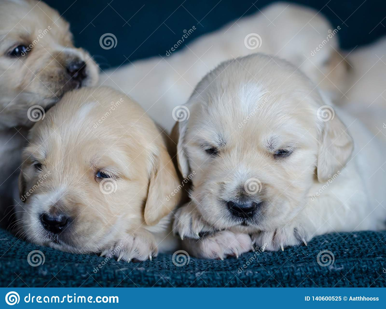 Portrait Of An Adorable Litter Of Golden Retriever Puppies Or Babies In A Blue Background Stock Image Image Of Litter Friend 140600525
