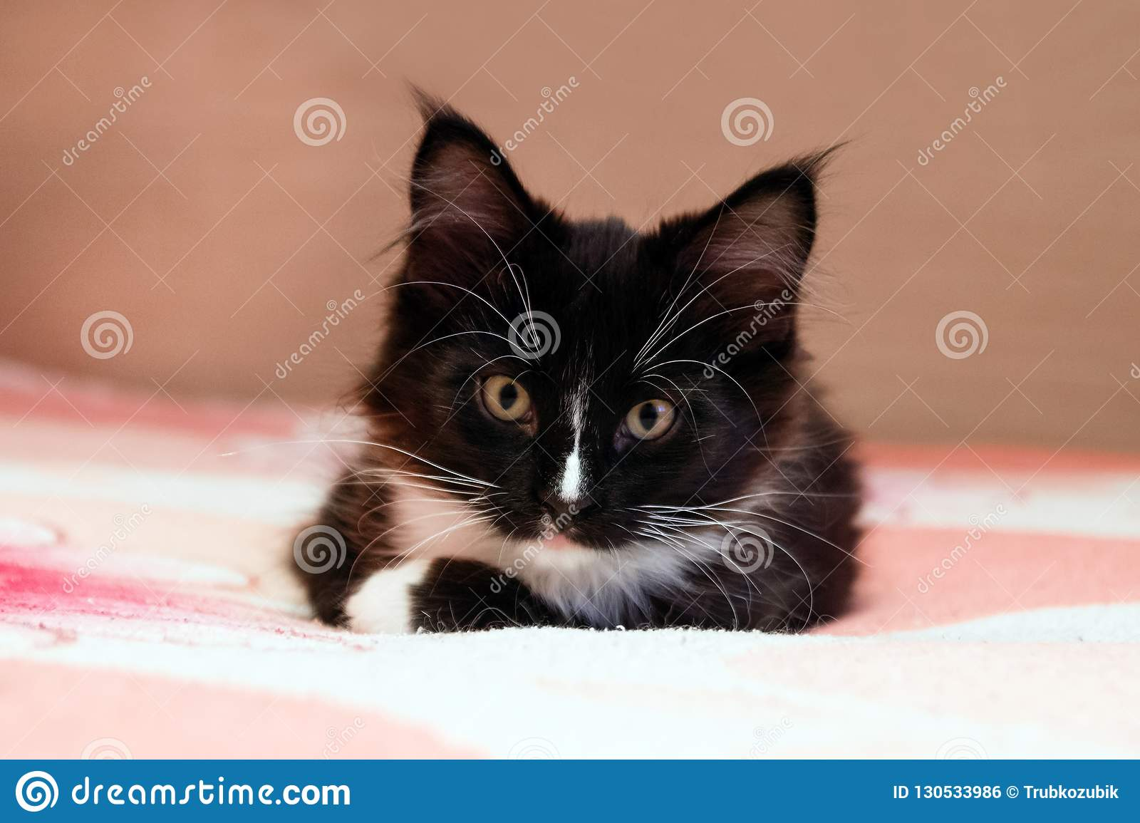 Portrait of adorable long haired black and white kitten lying on a bed