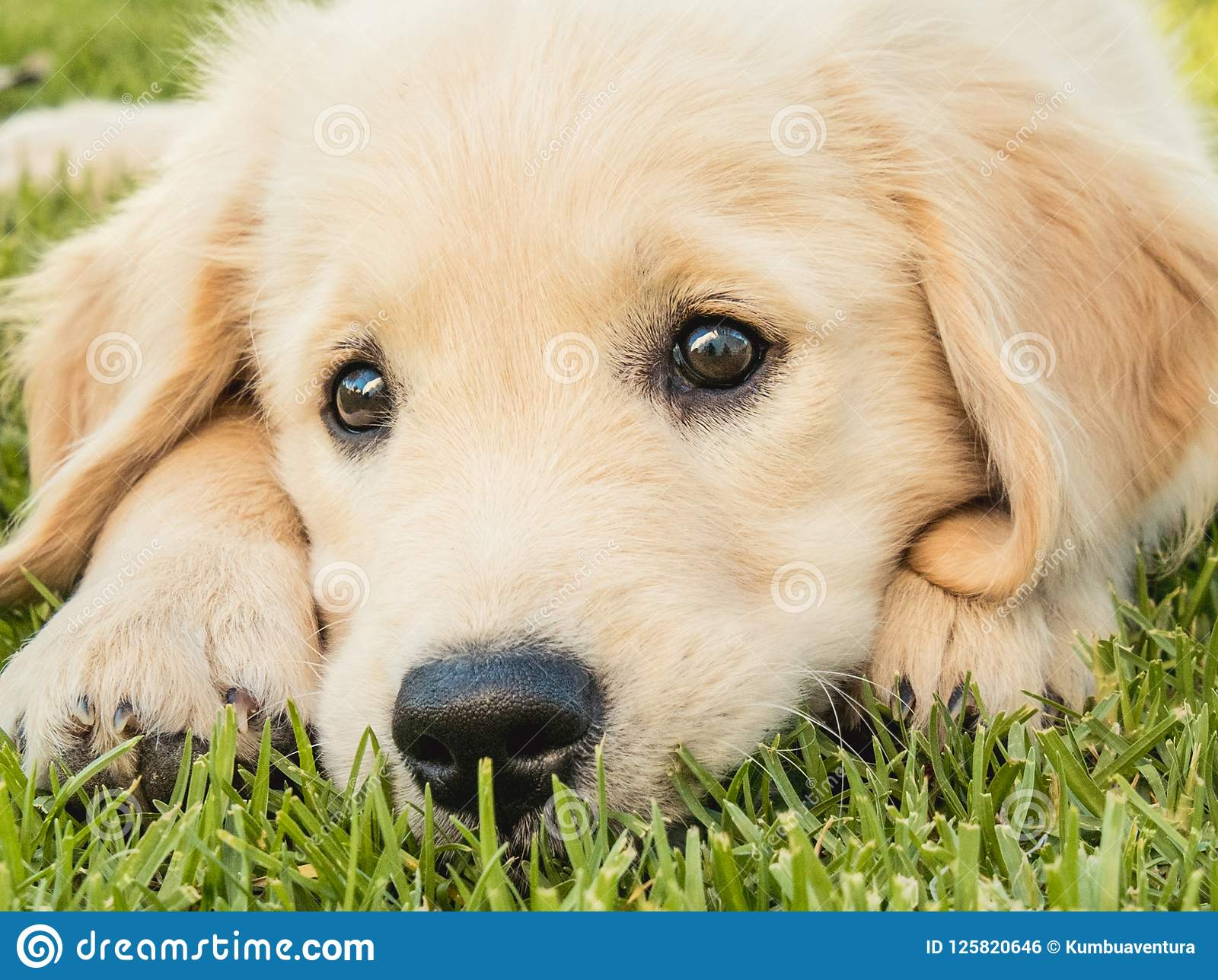 Portrait Of An Adorable Puppy Dog Of The Golden Retriever Breed Stock Photo Image Of Active Portrait 125820646