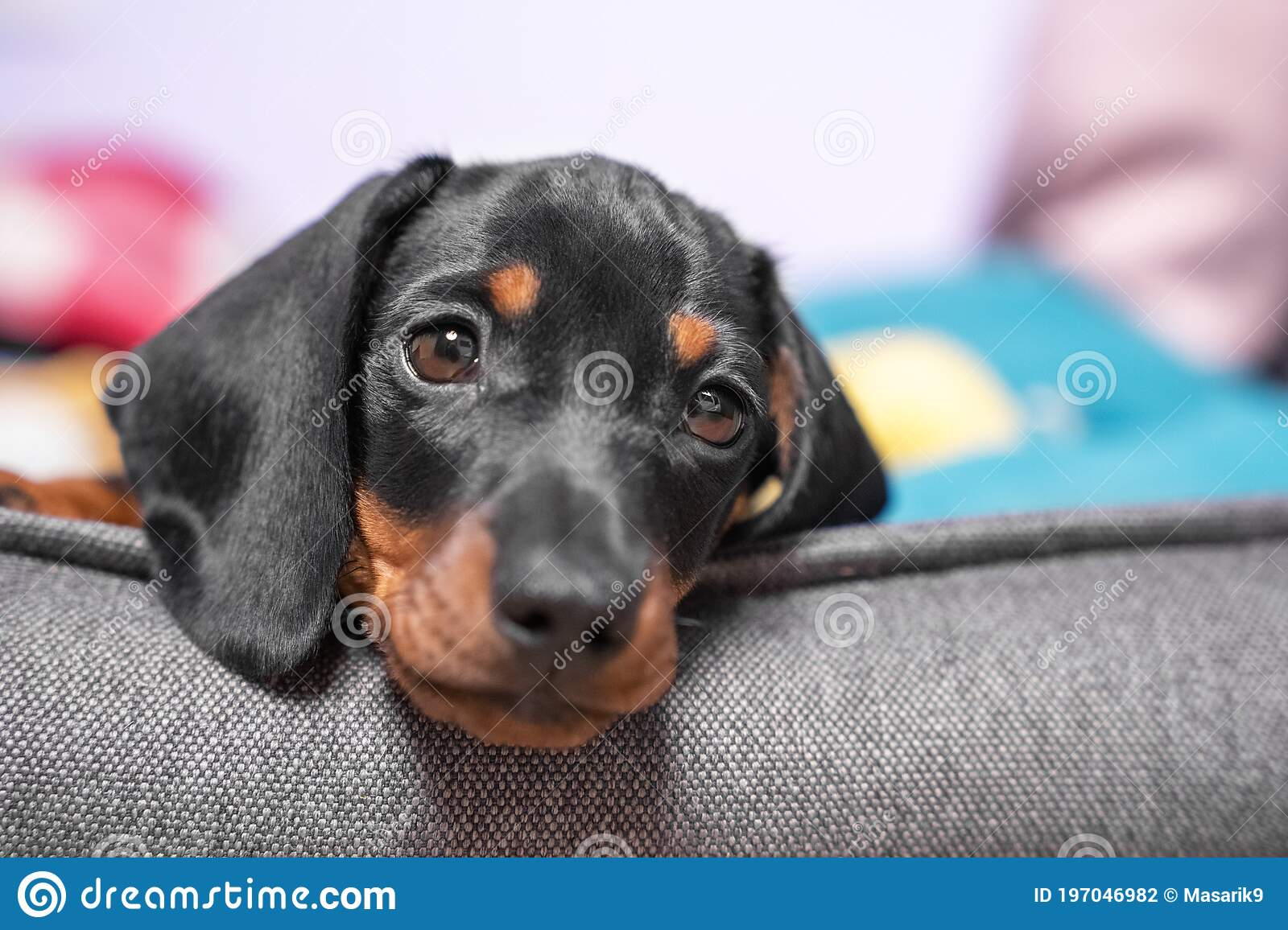 Portrait Of Adorable Sad Dachshund Puppy Lying With Its Head On Side Of Pet Bed Front View Close Up Tired Baby Dog Stock Photo Image Of Comfort Pedigree 197046982