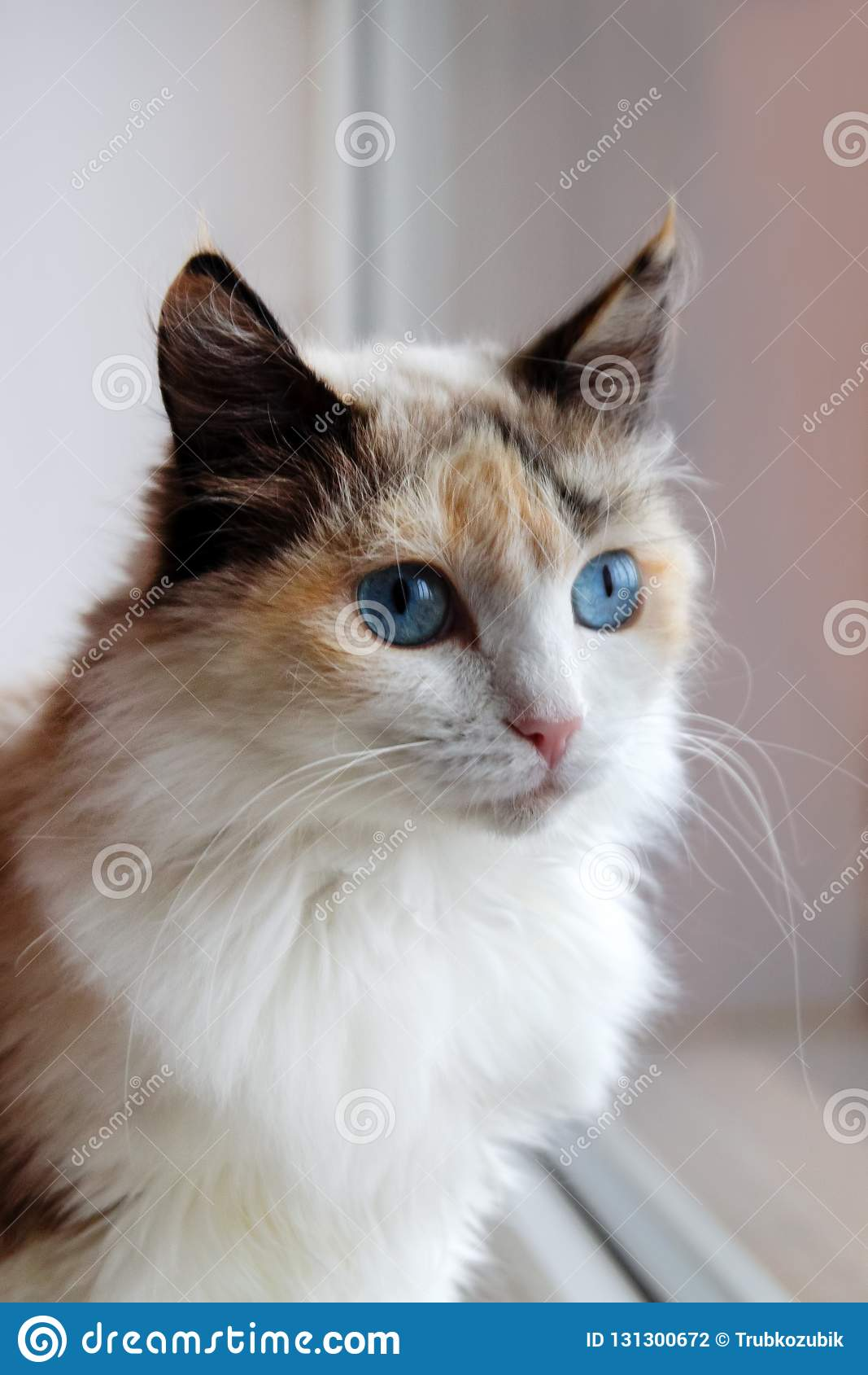 Portrait of adorable tortoiseshell fluffy cat with blue eyes sitting near to a window